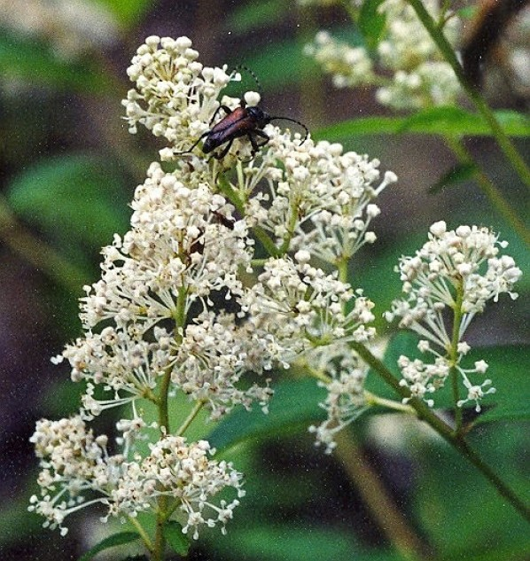 New Jersey-tea  Ceanothus americanus