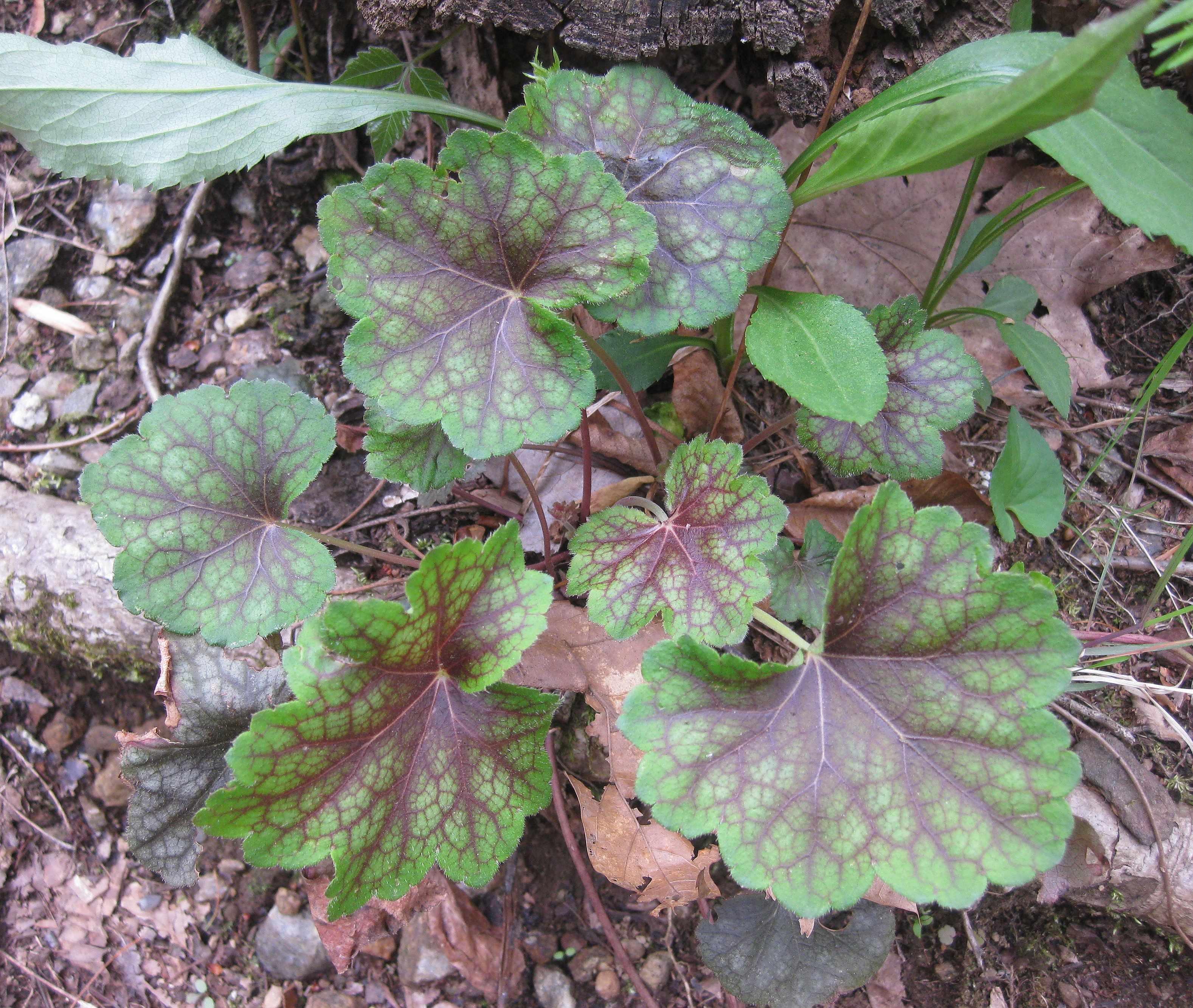 Plants North Carolina Native Plant Society