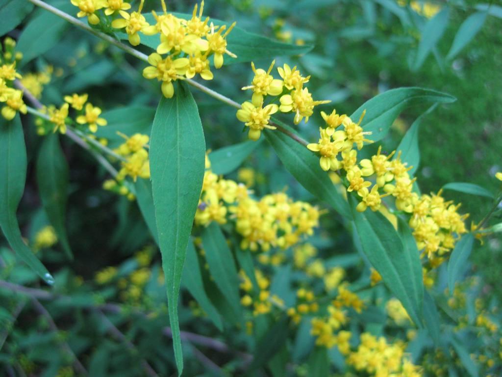 Solidago caesia (axillary goldenrod, blue-stem goldenrod): Go Botany