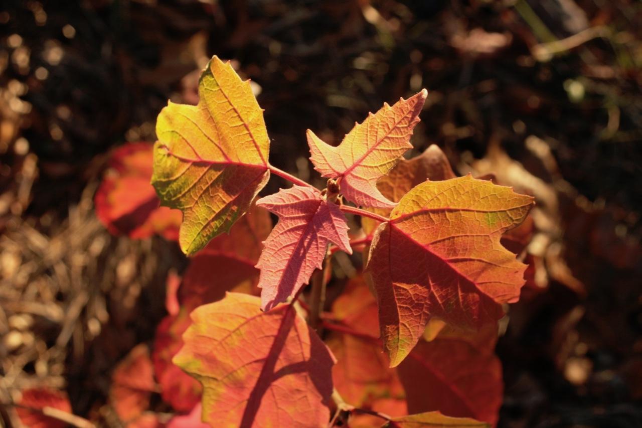 The Scientific Name is Viburnum acerifolium. You will likely hear them called Mapleleaf Viburnum, Maple-leaved Viburnum, Dockmackie. This picture shows the Nice Fall color of Viburnum acerifolium