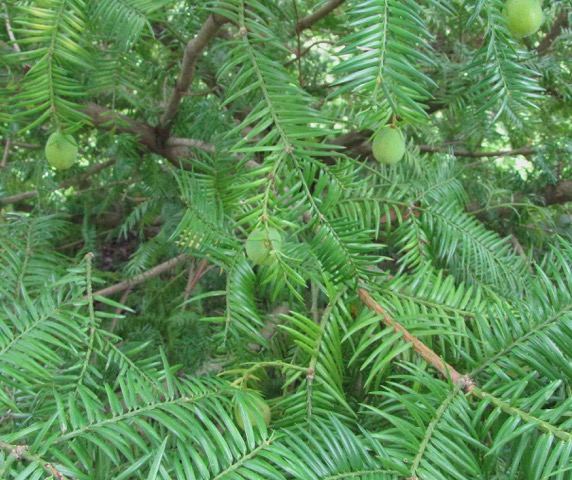 The Scientific Name is Torreya taxifolia. You will likely hear them called Florida Nutmeg, Florida Torreya, Stinking-cedar. This picture shows the Close-up of branches with cones of Torreya taxifolia