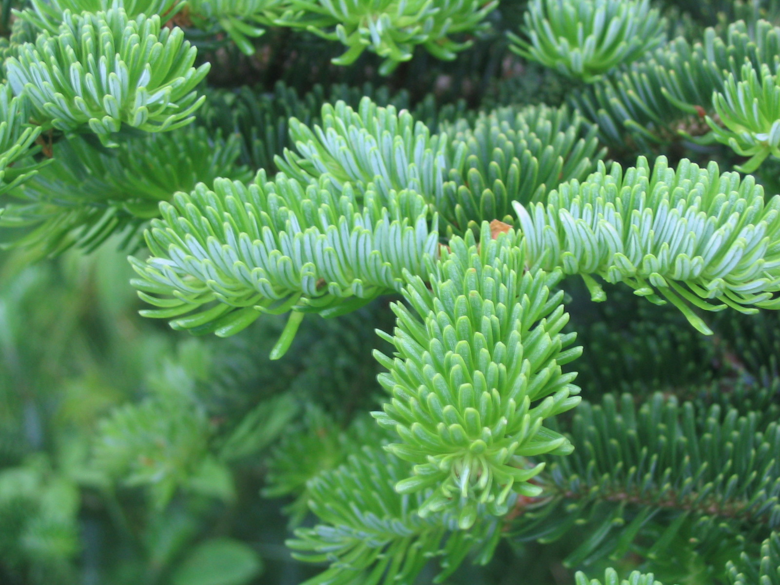 The Scientific Name is Abies fraseri. You will likely hear them called Fraser Fir, Southern Balsam, She Balsam. This picture shows the  Fir has soft flat needles, while spruce has sharp needles (f for flat, s for sharp). of Abies fraseri