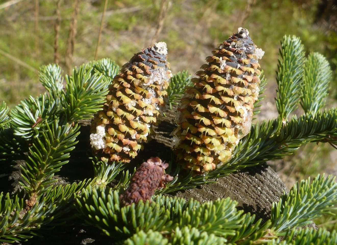 The Scientific Name is Abies fraseri. You will likely hear them called Fraser Fir, Southern Balsam, She Balsam. This picture shows the Female cones and needles of Abies fraseri