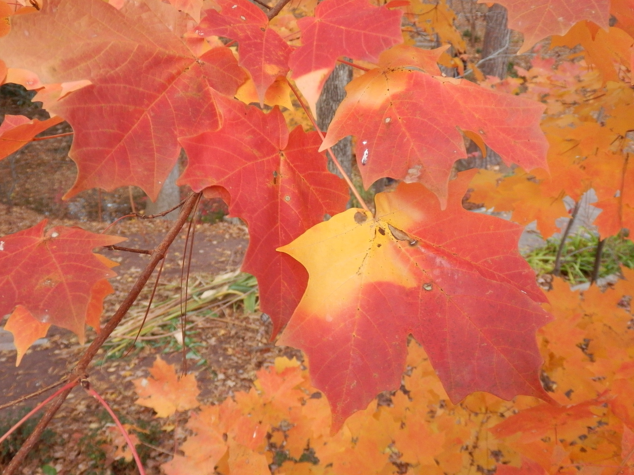 The Scientific Name is Acer floridanum [= Acer barbatum, Acer saccharum ssp. floridanum]. You will likely hear them called Southern Sugar Maple, Florida Maple. This picture shows the Beautiful fall color of Acer floridanum [= Acer barbatum, Acer saccharum ssp. floridanum]