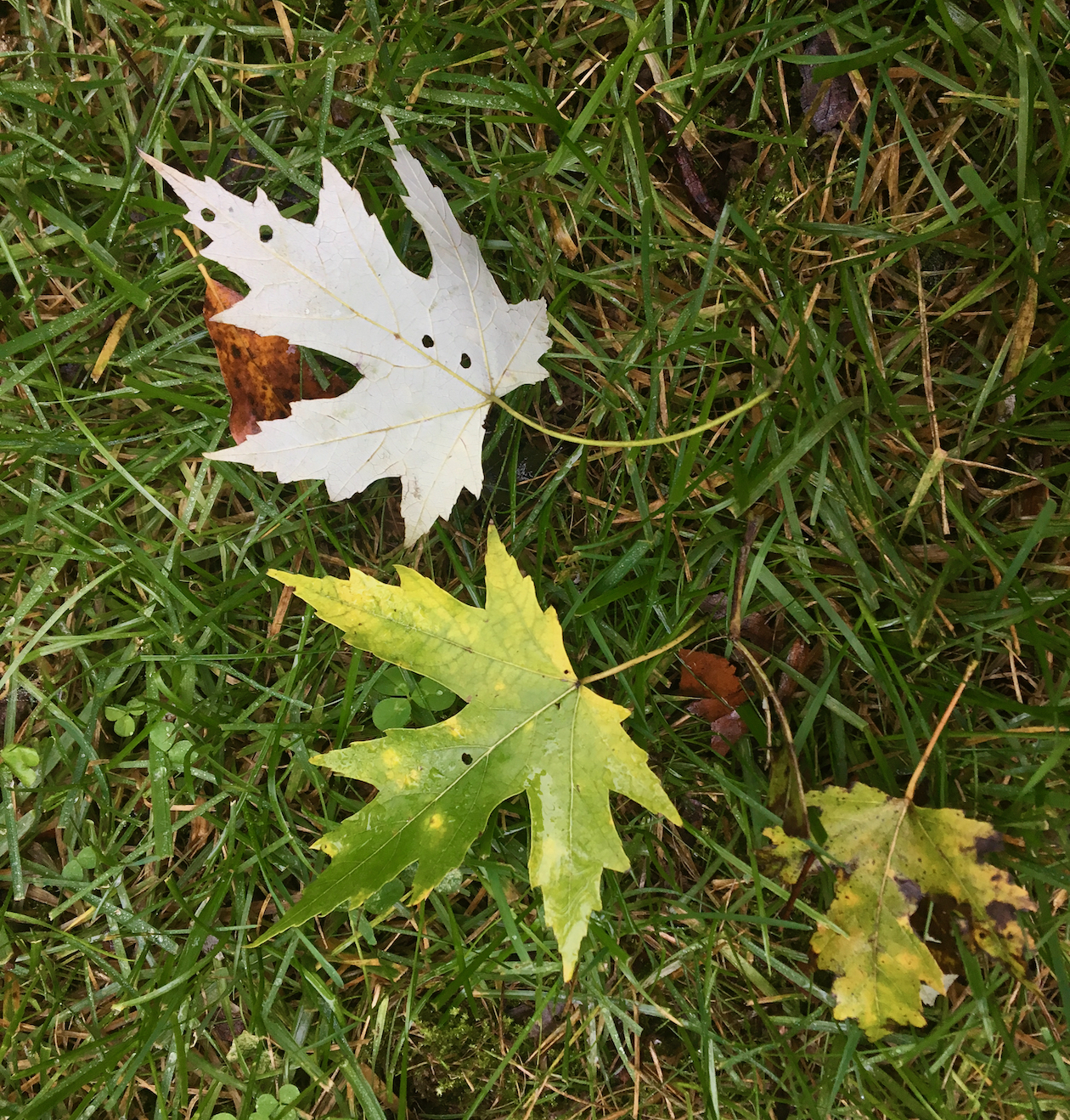 The Scientific Name is Acer saccharinum. You will likely hear them called Silver Maple, Soft Maple. This picture shows the Front side of leaf is green, underside is silvery. of Acer saccharinum