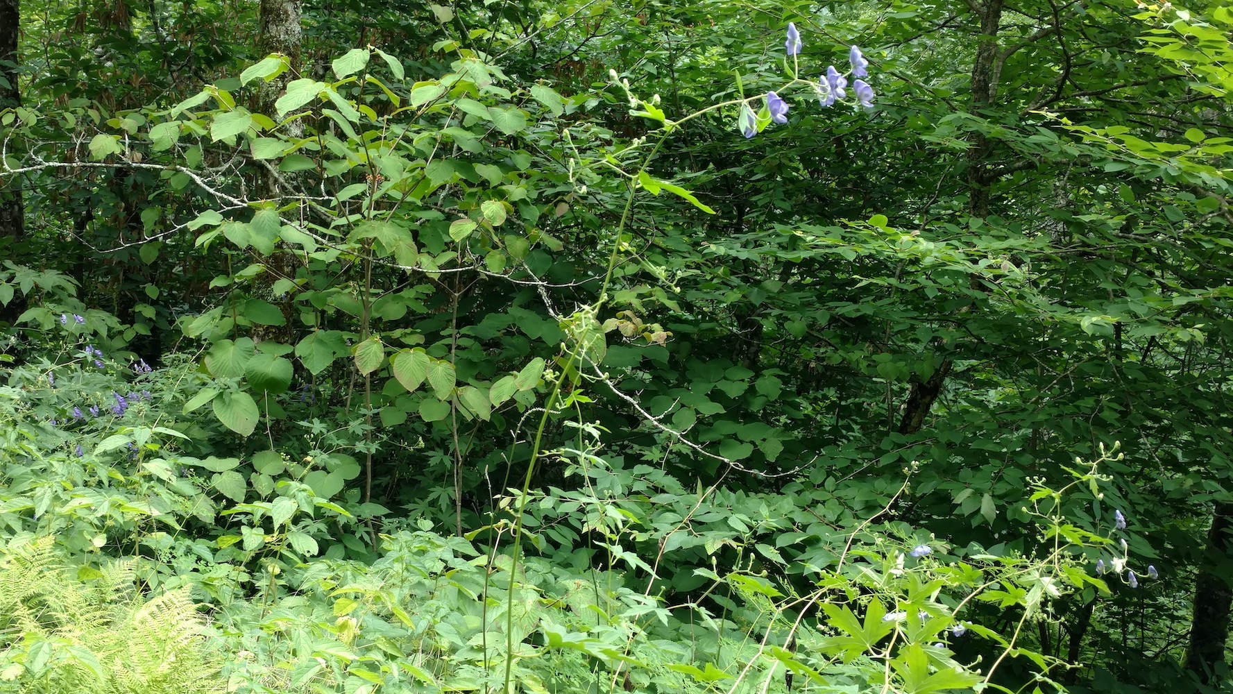 The Scientific Name is Aconitum uncinatum. You will likely hear them called Southern Blue Monkshood, Eastern Blue Monkshood, Appalachian Blue Monkshood. This picture shows the Notice long flexuous stems arising above other vegetation of Aconitum uncinatum