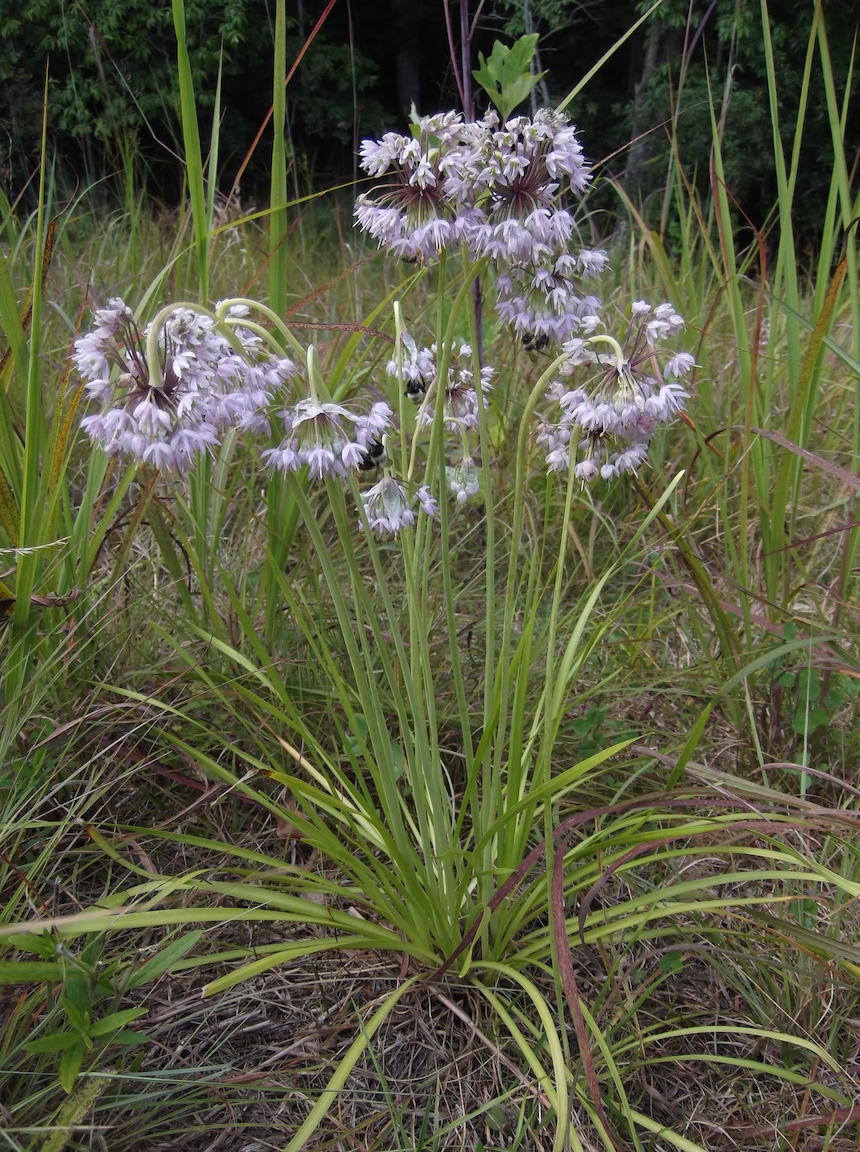 The Scientific Name is Allium cernuum. You will likely hear them called Nodding Onion. This picture shows the Characteristic nodding umbel with the flowers pointed downward. of Allium cernuum