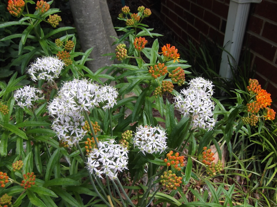 The Scientific Name is Allium keeverae [= Split from Allium cuthbertii]. You will likely hear them called Keever's Onion. This picture shows the A beautiful species of Allium with erect umbels on top of 2 ft tall stems. of Allium keeverae [= Split from Allium cuthbertii]