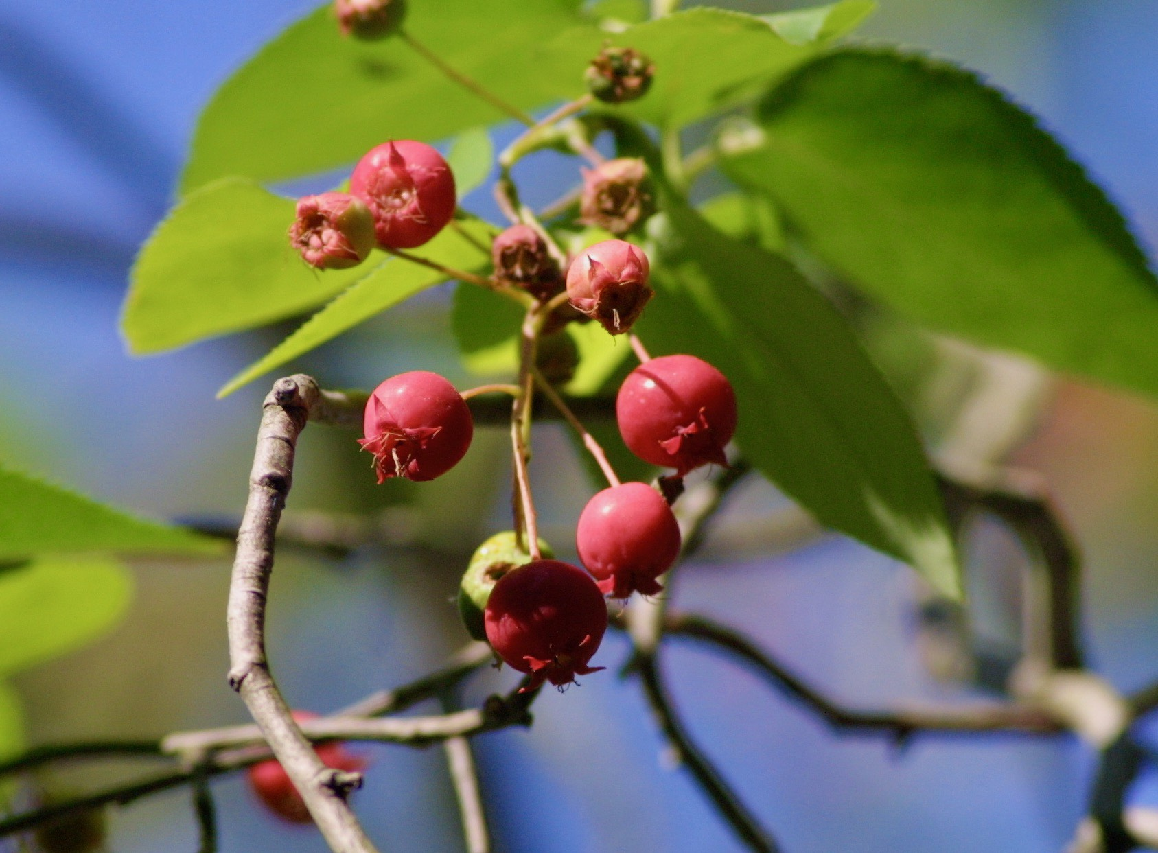 The Scientific Name is Amelanchier arborea. You will likely hear them called Downy Serviceberry, Shadbush, Shadtree, Sarvis Tree. This picture shows the Ripe fruits of Amelanchier arborea