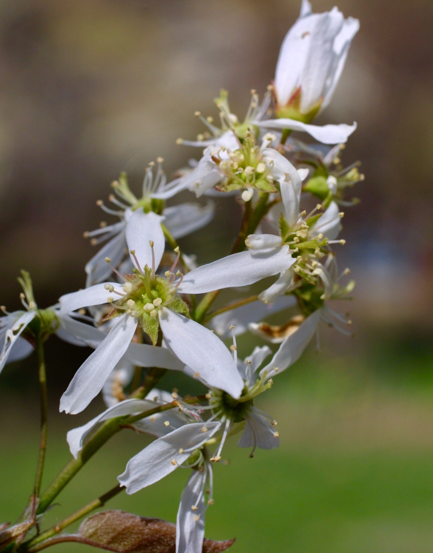 The Scientific Name is Amelanchier arborea. You will likely hear them called Downy Serviceberry, Shadbush, Shadtree, Sarvis Tree. This picture shows the Each flower has 5 petals and 5 sepals of Amelanchier arborea