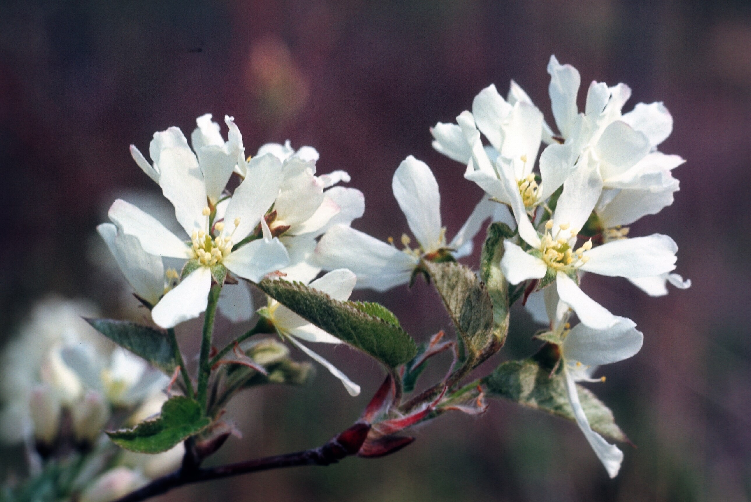 The Scientific Name is Amelanchier canadensis. You will likely hear them called Eastern Serviceberry, Sarvisberry, Shad. This picture shows the Close-up of flowers blooming in early spring before the leaves have developed. of Amelanchier canadensis