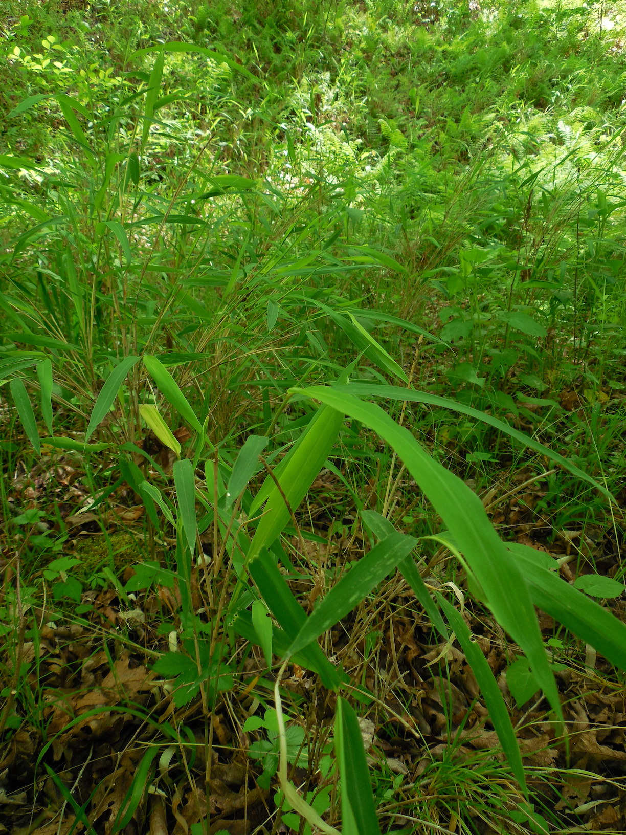 The Scientific Name is Arundinaria appalachiana [split from Arundinaria gigantea and Arundinaria tecta]. You will likely hear them called Hill Cane. This picture shows the A colony of Hillside Cane. of Arundinaria appalachiana [split from Arundinaria gigantea and Arundinaria tecta]