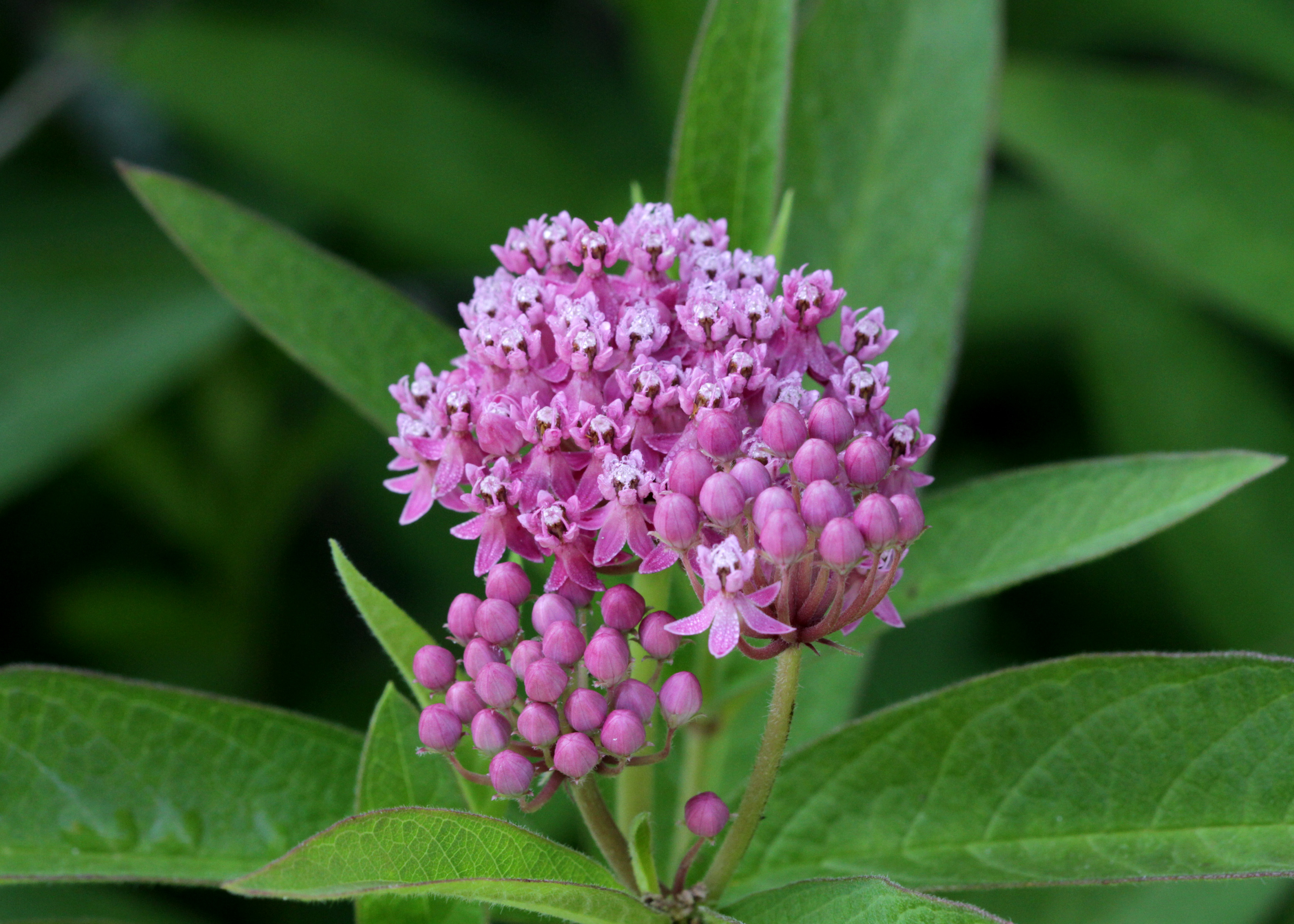 The Scientific Name is Asclepias incarnata var. pulchra. You will likely hear them called Eastern Swamp Milkweed. This picture shows the In the wild, Asclepias incarnata, Swamp Milkweed, prefers wetter areas.  Bright pink blossoms and pale green foliage are handsome.  of Asclepias incarnata var. pulchra