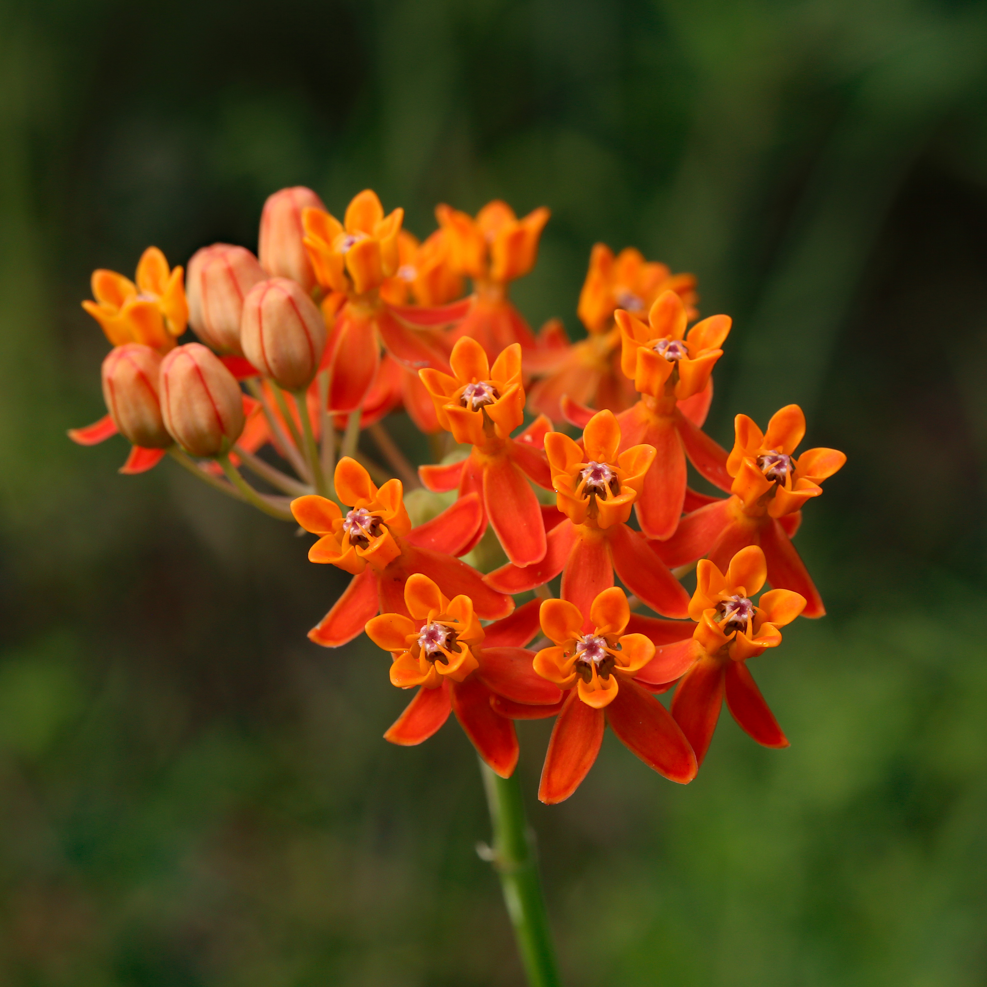 The Scientific Name is Asclepias lanceolata. You will likely hear them called Few-flower Milkweed. This picture shows the The inflorescence of Asclepias lanceolata, or Few-flowered Milkweed, typically consists of a tight cluster of bright orange flowers.  This image is from the Francis Marion area of South Carolina.  of Asclepias lanceolata