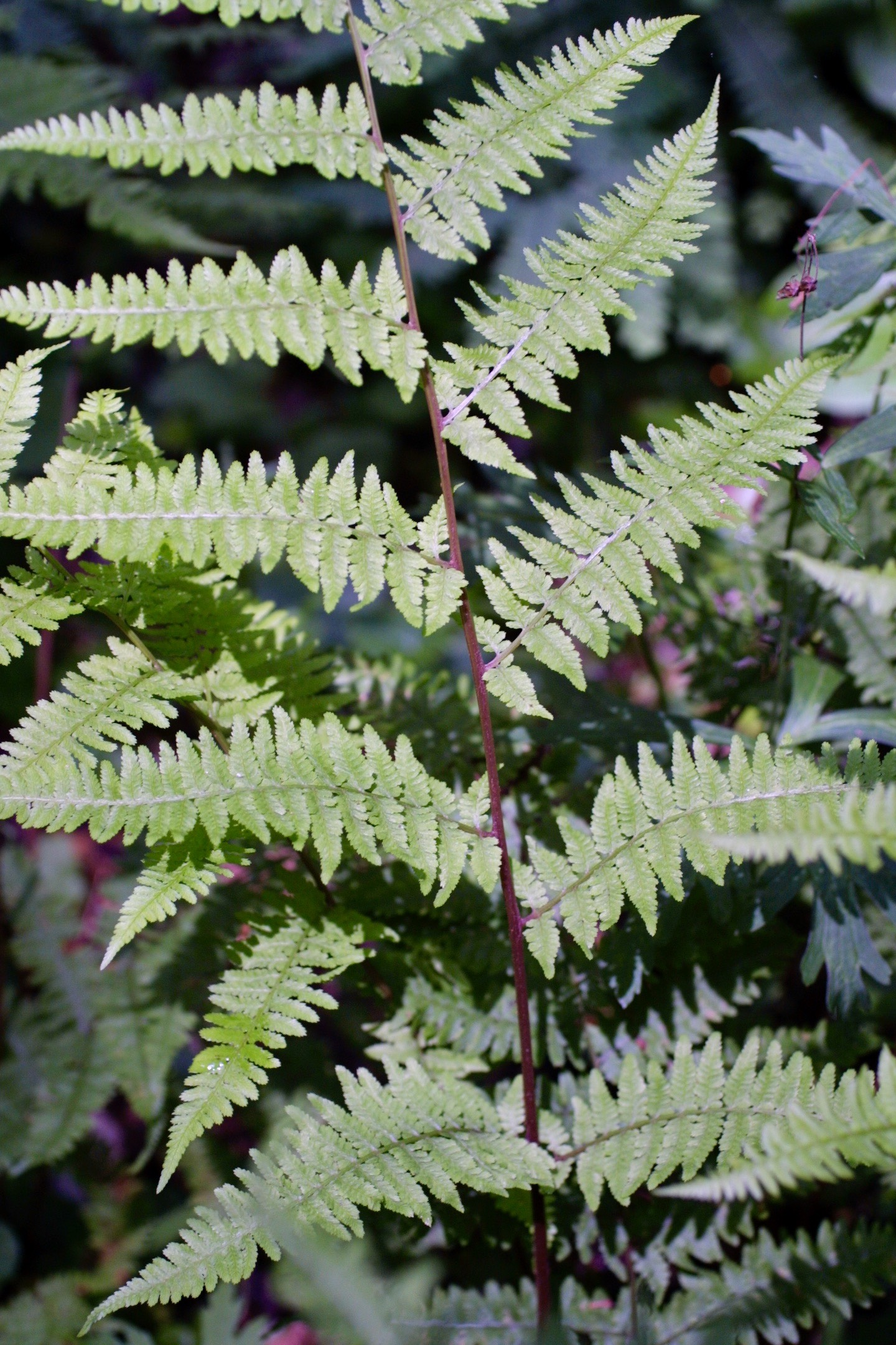 The Scientific Name is Athyrium asplenioides [= Athyrium filix-femina var. asplenoides]. You will likely hear them called Southern Lady Fern. This picture shows the Long-pointed pinnae and a reddish stipe are typical of Athyrium asplenioides [= Athyrium filix-femina var. asplenoides]