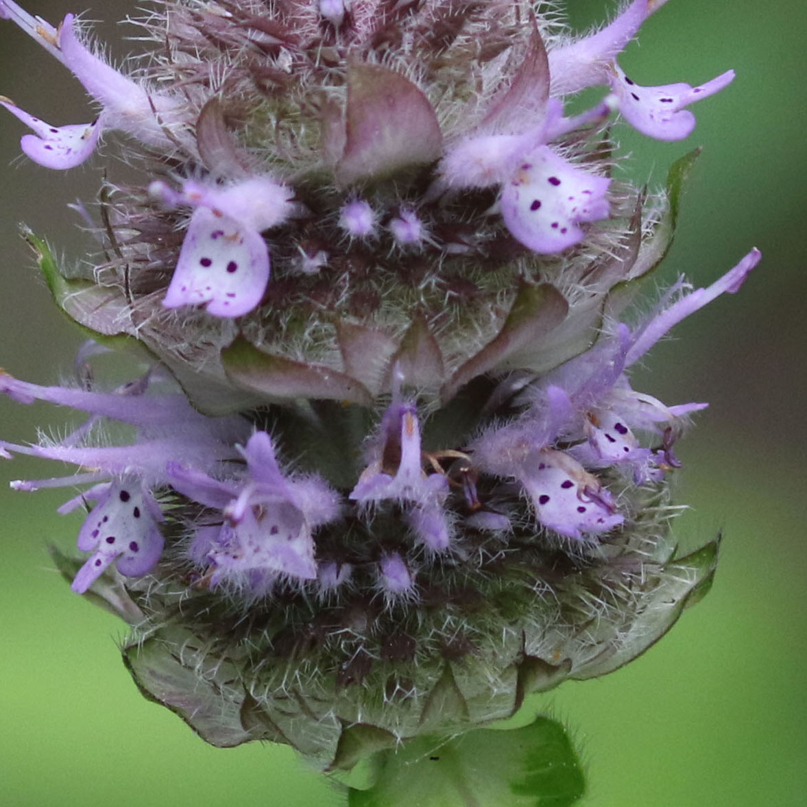 The Scientific Name is Blephilia ciliata. You will likely hear them called Downy Woodmint, Downy Pagoda-plant, Ohio Horsemint. This picture shows the Per Weakley et al, clusters of flowers rest on a whorl of fringed bracts. of Blephilia ciliata