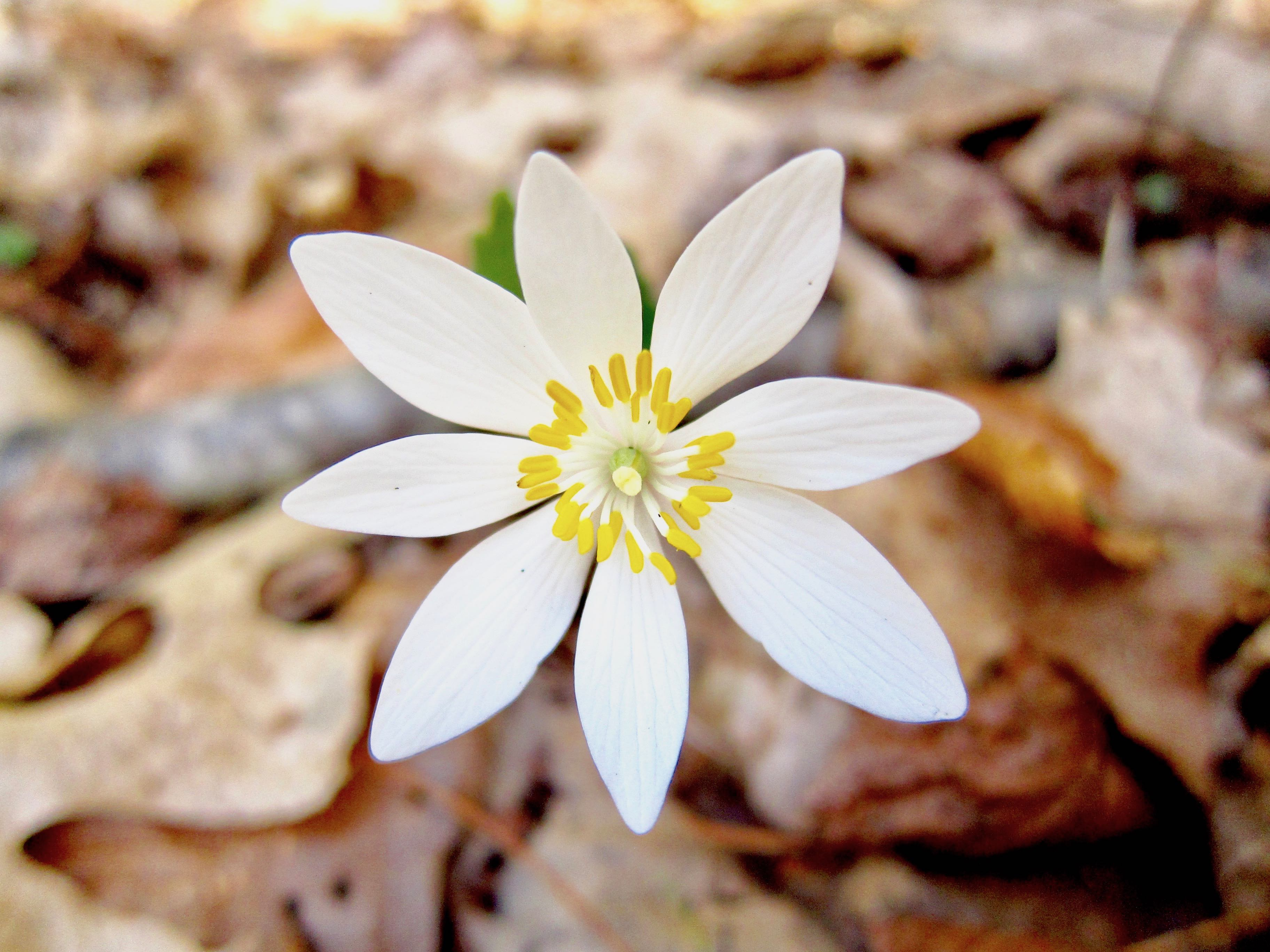 The Scientific Name is Sanguinaria canadensis. You will likely hear them called Bloodroot, Red Puccoon. This picture shows the Full Bloom in early April of Sanguinaria canadensis