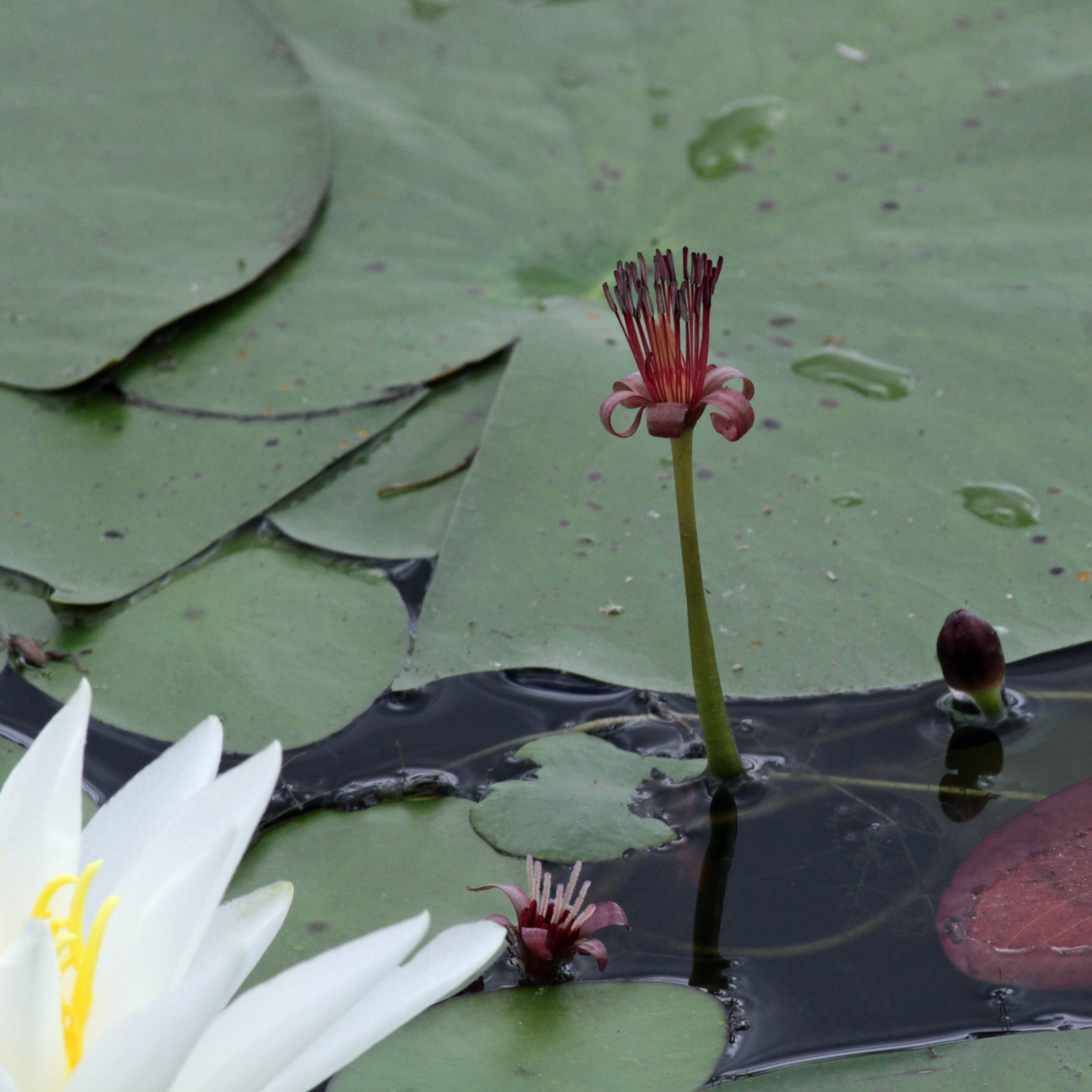 The Scientific Name is Brasenia schreberi. You will likely hear them called Water-shield, Purple Wen-dock. This picture shows the A pistillate blossom in the lower left and a staminate blossom front and center. of Brasenia schreberi