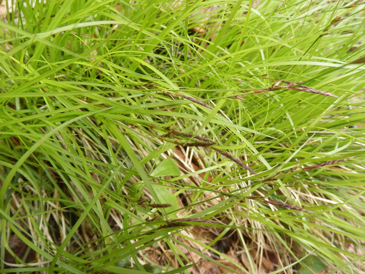 The Scientific Name is Carex pensylvanica. You will likely hear them called Pennsylvania Sedge. This picture shows the  of Carex pensylvanica