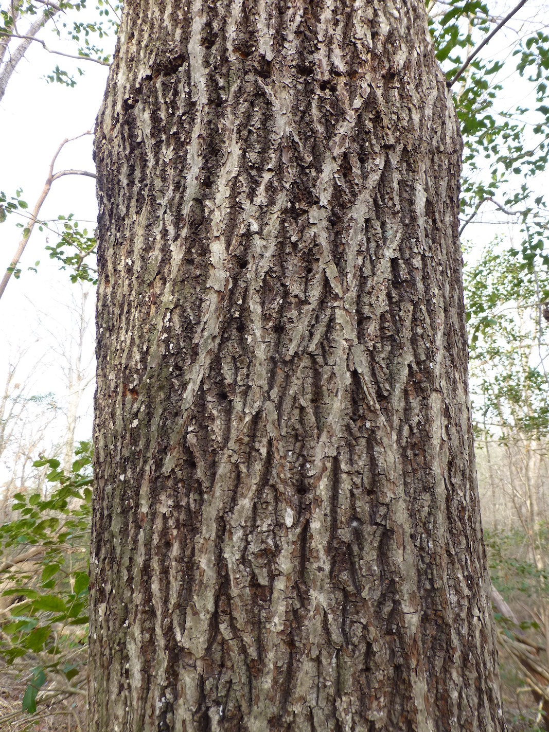 The Scientific Name is Carya glabra. You will likely hear them called Pignut Hickory, Smooth Pignut. This picture shows the Bark has tight ridges and is not shaggy. of Carya glabra