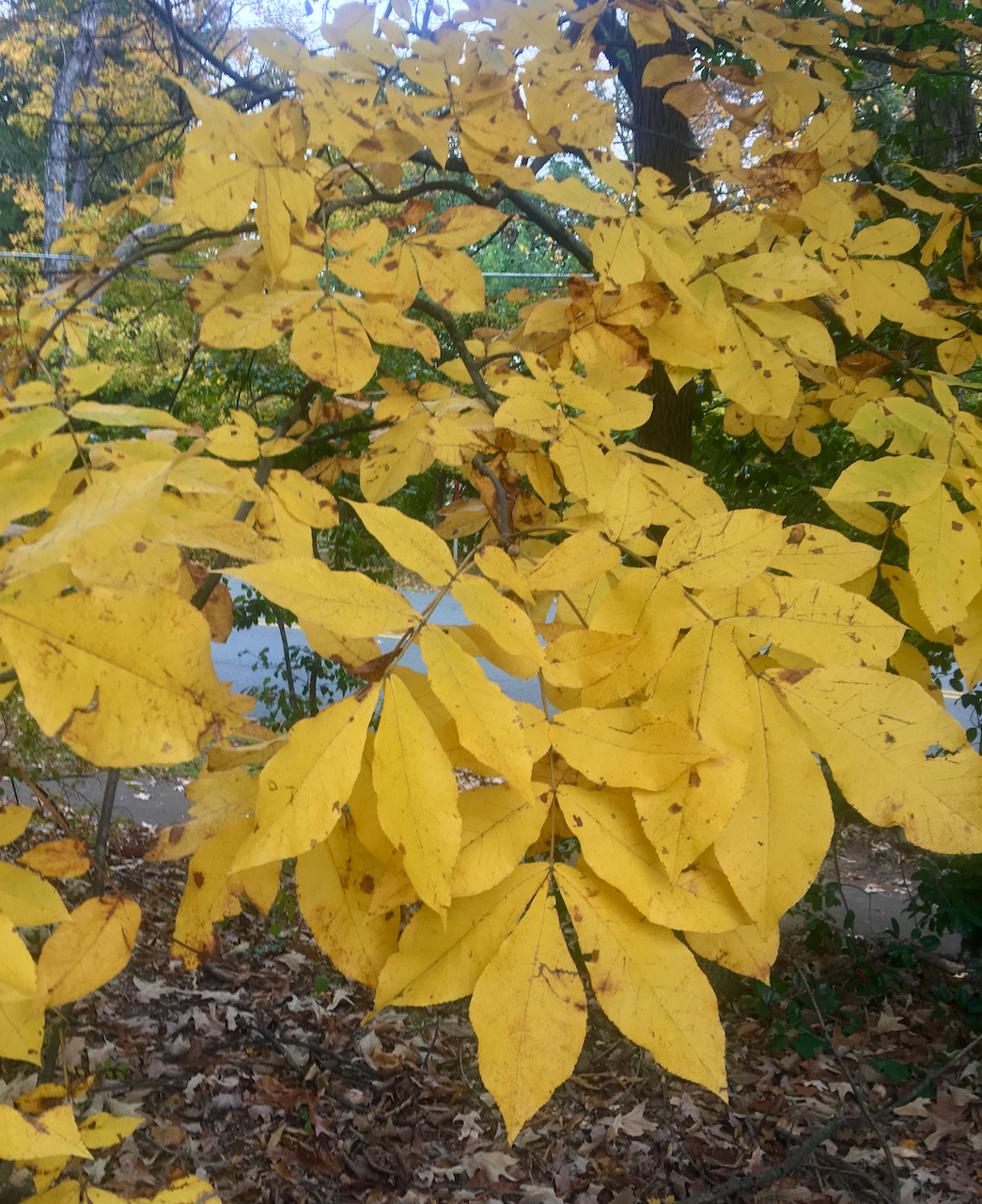 The Scientific Name is Carya tomentosa. You will likely hear them called Mockernut Hickory, White Hickory. This picture shows the Lemon-yellow fall foliage of Carya tomentosa