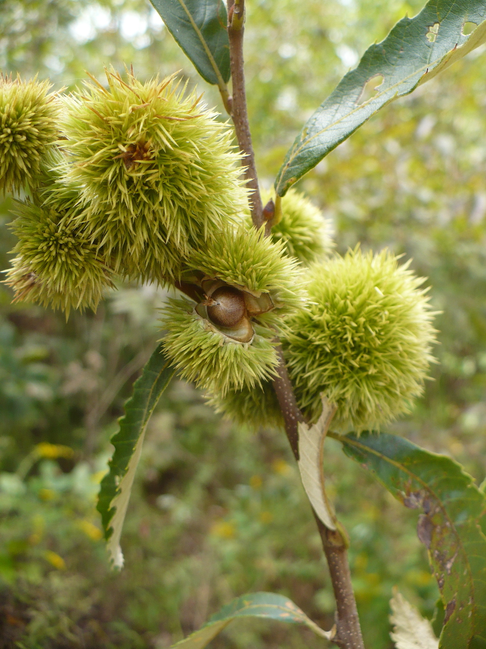The Scientific Name is Castanea pumila. You will likely hear them called Common Chinquapin, Allegheny Chinquapin, Chinkapin, Dwarf Chinquapin. This picture shows the One seed per bur; 10 ft shrub. of Castanea pumila