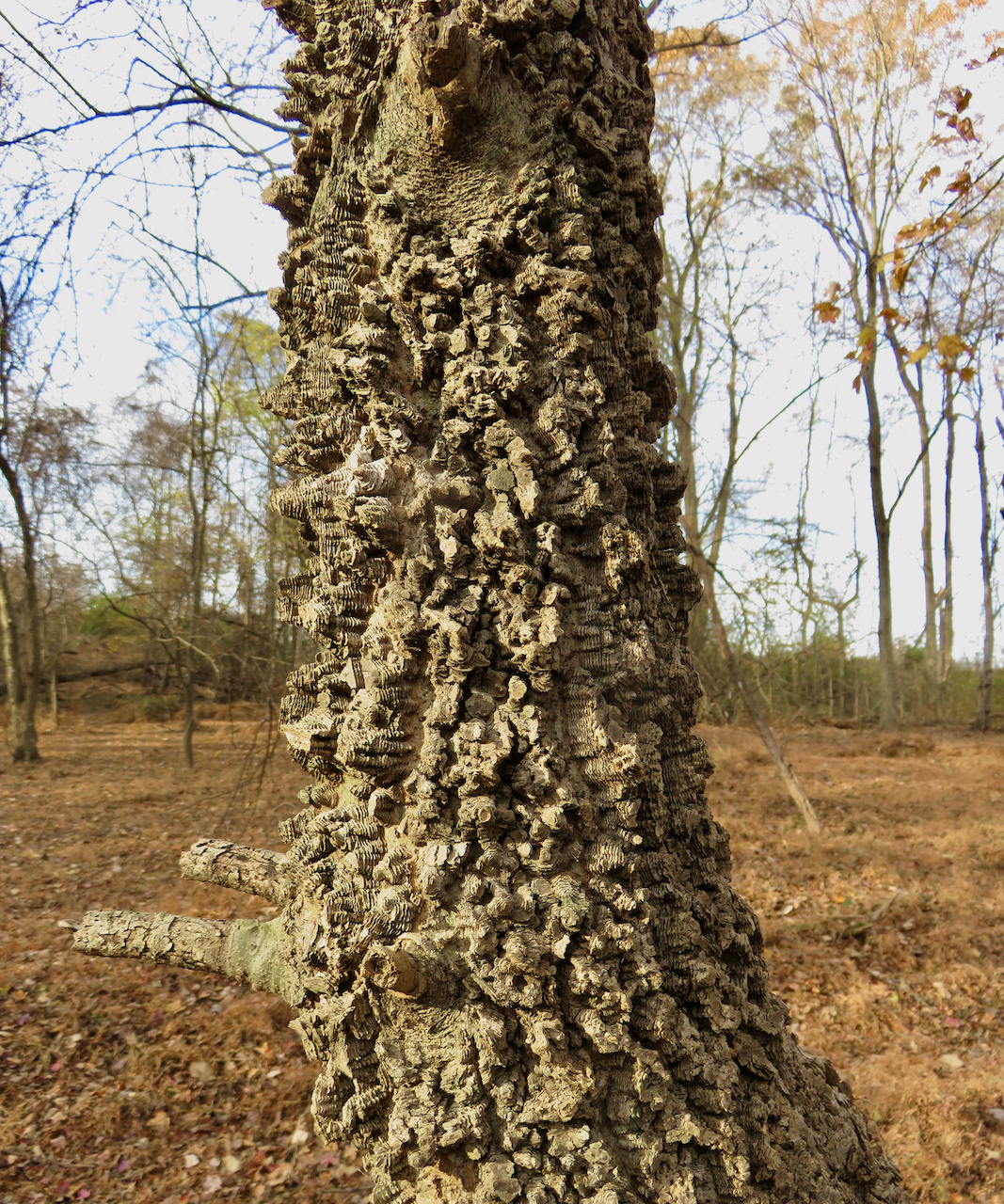 The Scientific Name is Celtis laevigata. You will likely hear them called Southern Hackberry, Sugarberry. This picture shows the Corky, irregularly patterned bark of Celtis laevigata