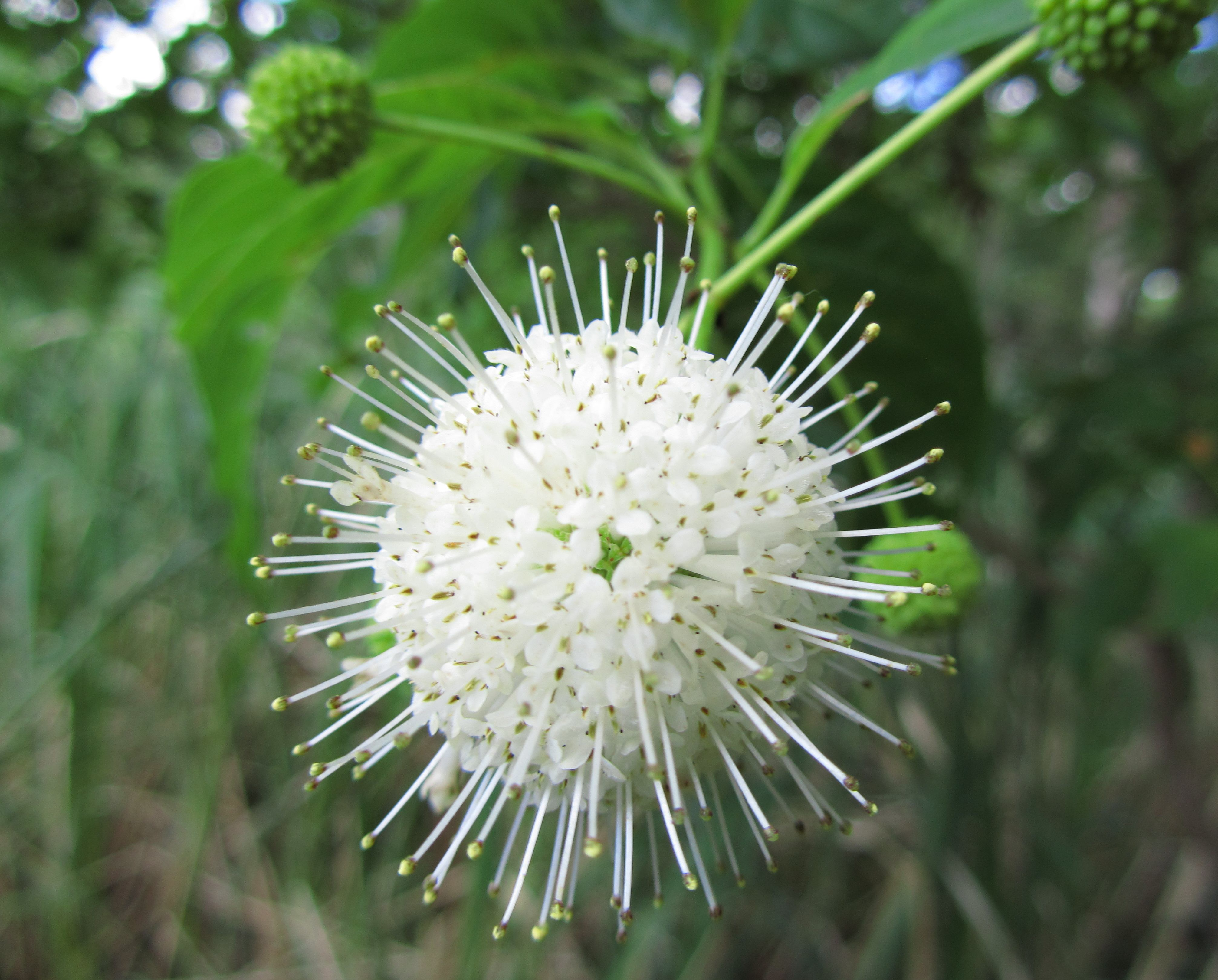 North Carolina Native Plants Society - Native Plants Gallery