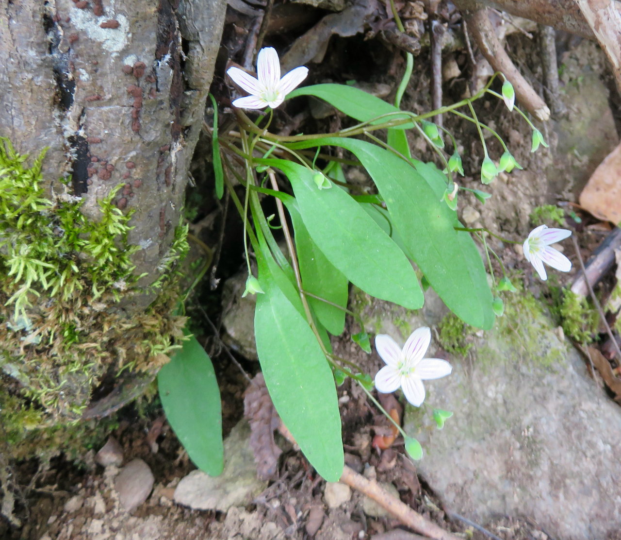 The Scientific Name is Claytonia caroliniana. You will likely hear them called Carolina Spring-beauty. This picture shows the Leaves have petioles and are elliptical to spoon-shaped of Claytonia caroliniana