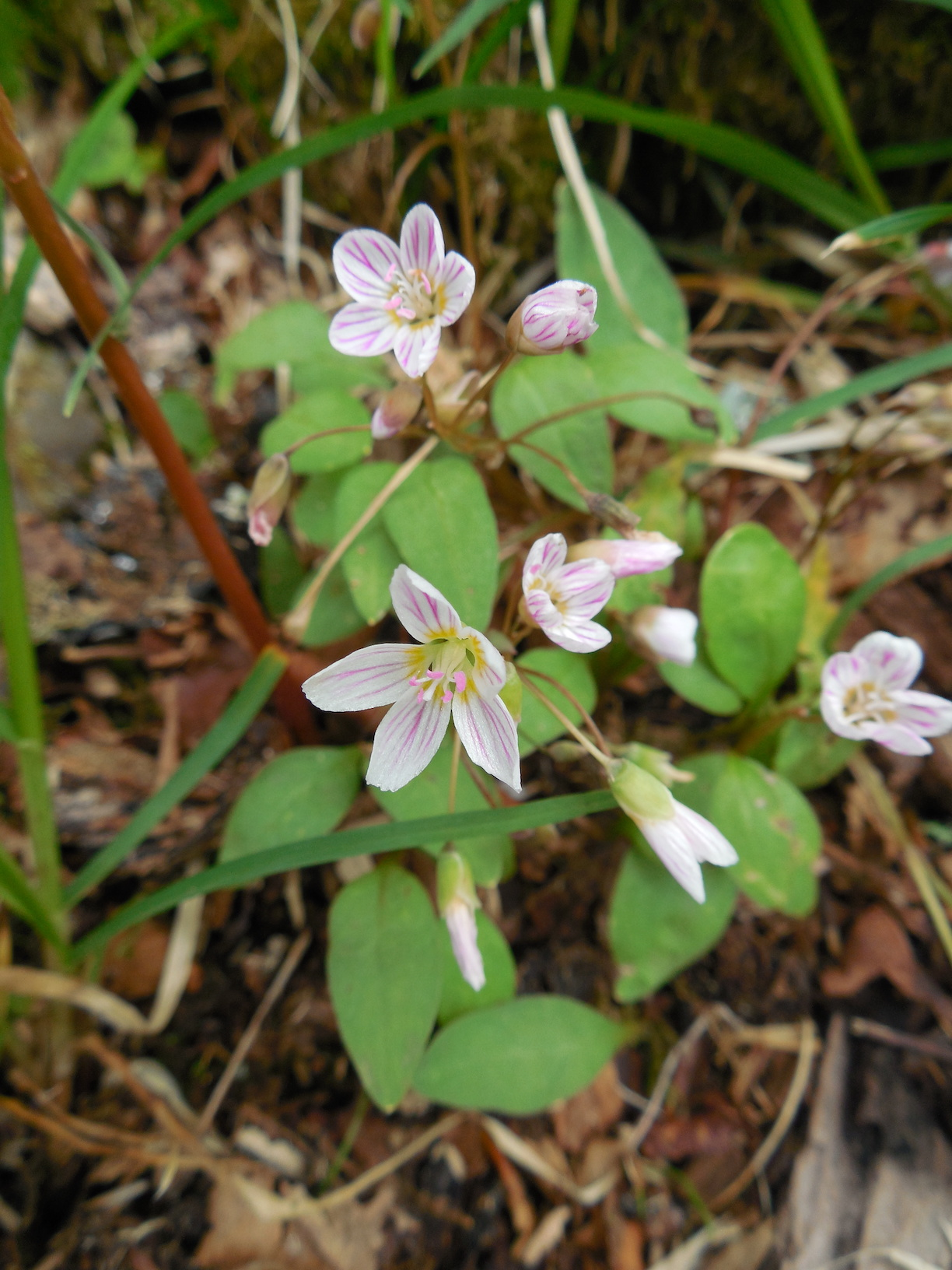 The Scientific Name is Claytonia caroliniana. You will likely hear them called Carolina Spring-beauty. This picture shows the  of Claytonia caroliniana
