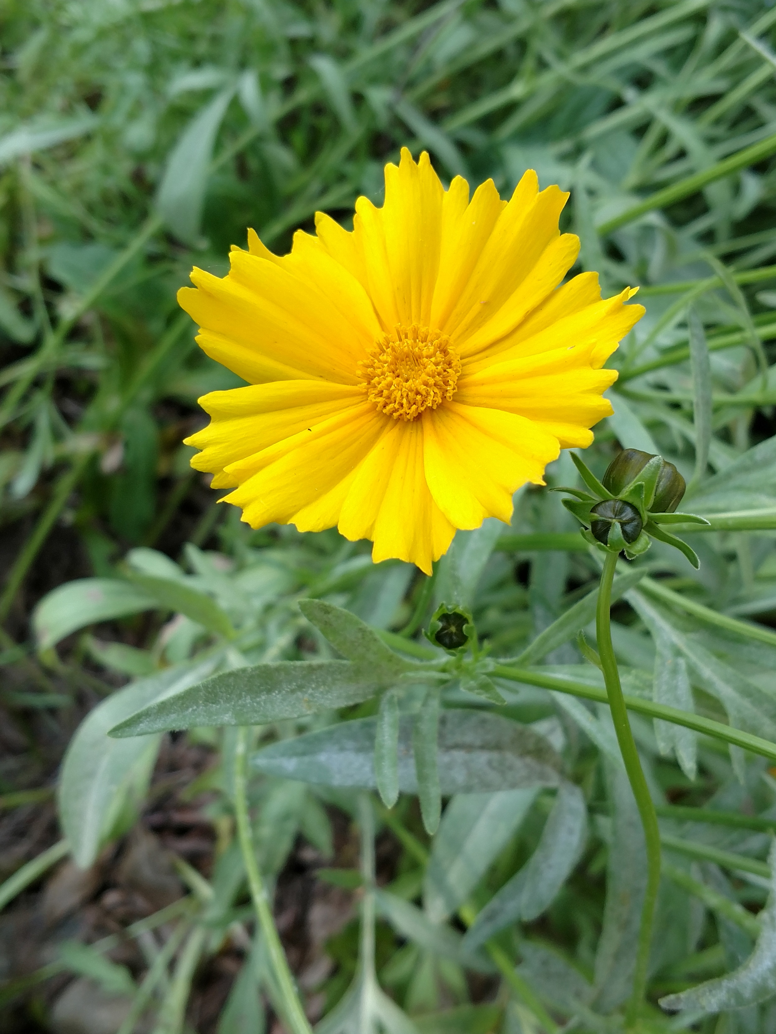 The Scientific Name is Coreopsis lanceolata. You will likely hear them called Longstalk Coreopsis, Lance-leaved Tickseed, Lanceleaf Coreopsis. This picture shows the Ray and disk florets are yellow. of Coreopsis lanceolata