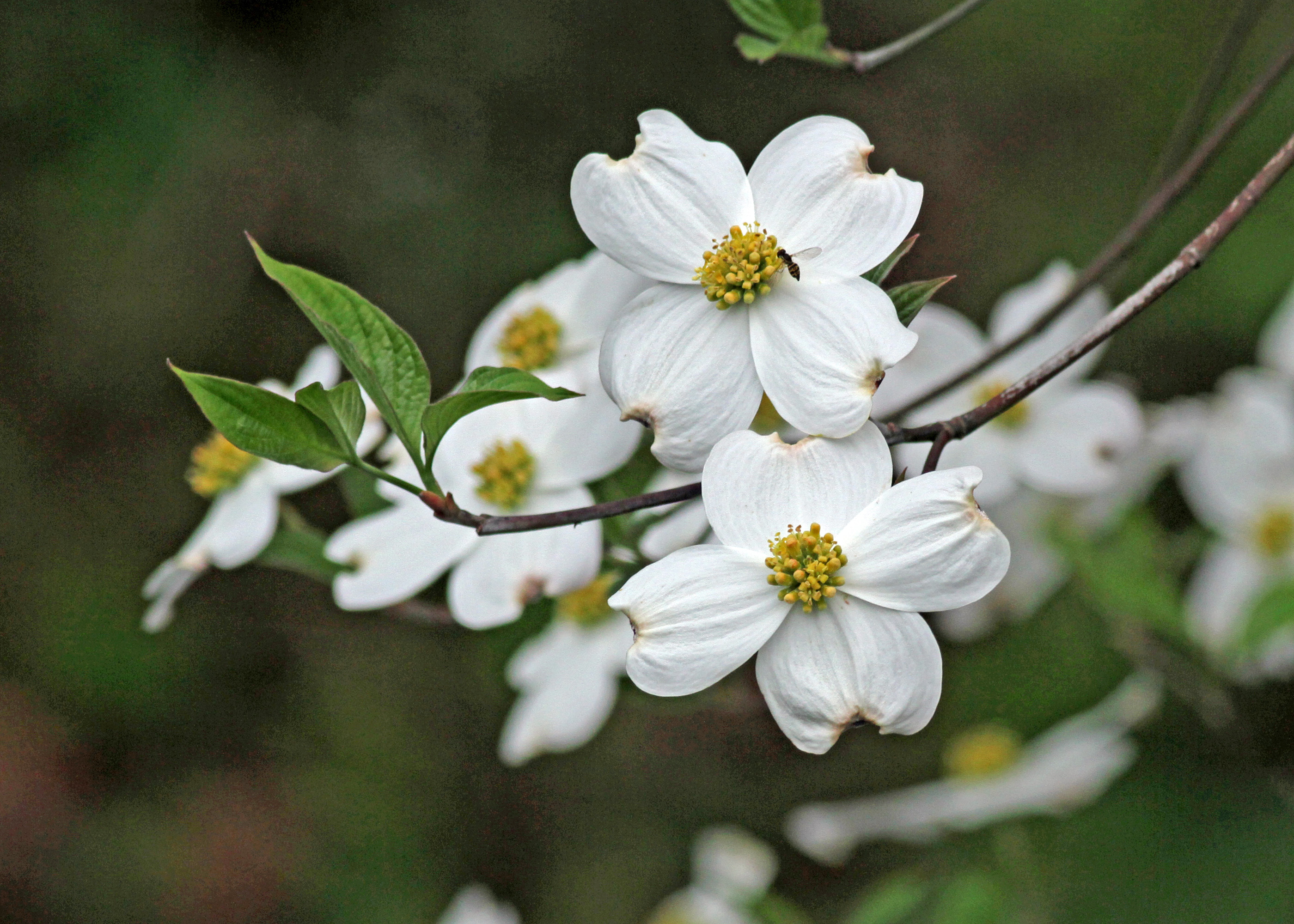 The Scientific Name is Cornus florida [= Benthamidia florida]. You will likely hear them called Flowering Dogwood. This picture shows the Flowering Dogwoods explode with showy white blossoms in mid-spring.  True flowers are tiny and surrounded by 4 showy, bright white leafy bracts.  of Cornus florida [= Benthamidia florida]