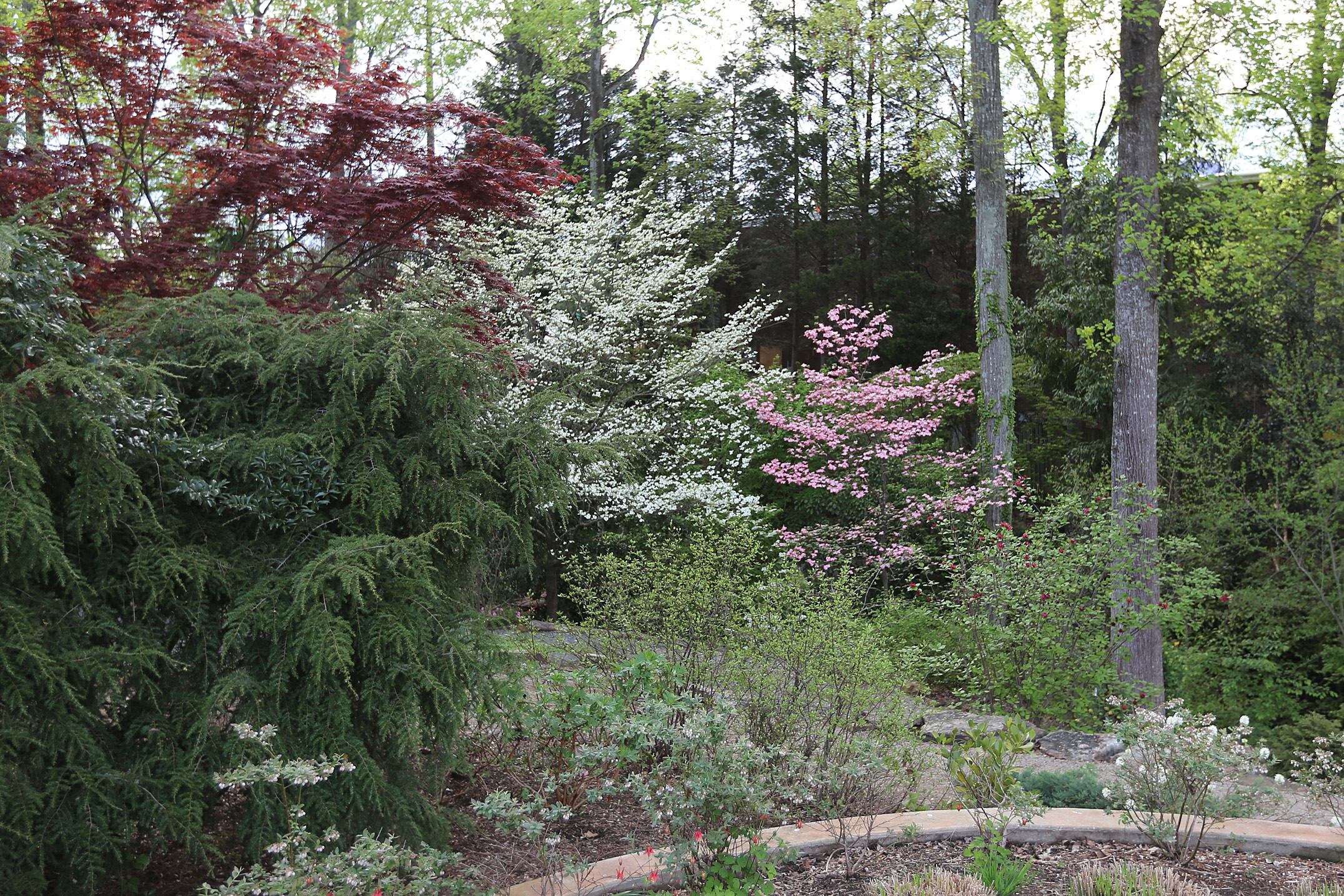 The Scientific Name is Cornus florida [= Benthamidia florida]. You will likely hear them called Flowering Dogwood. This picture shows the A pair of Flowering Dogwoods in the Suzie Harwood Garden, UNC Charlotte Botanical Gardens. of Cornus florida [= Benthamidia florida]