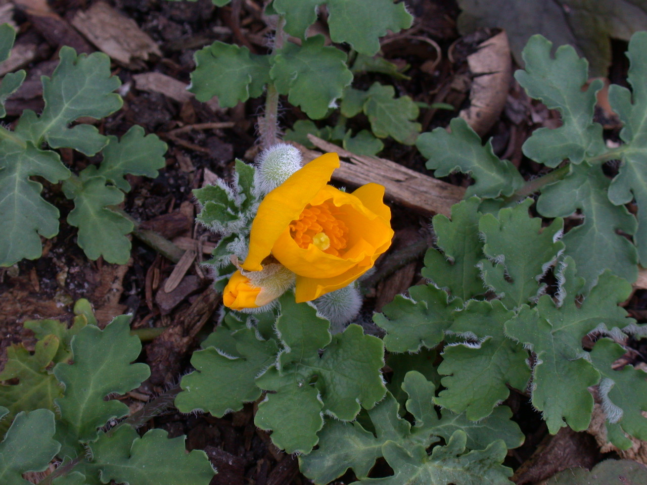 The Scientific Name is Stylophorum diphyllum. You will likely hear them called Celandine-poppy, Yellow Wood Poppy. This picture shows the Leaves, buds, and opening flower of Stylophorum diphyllum