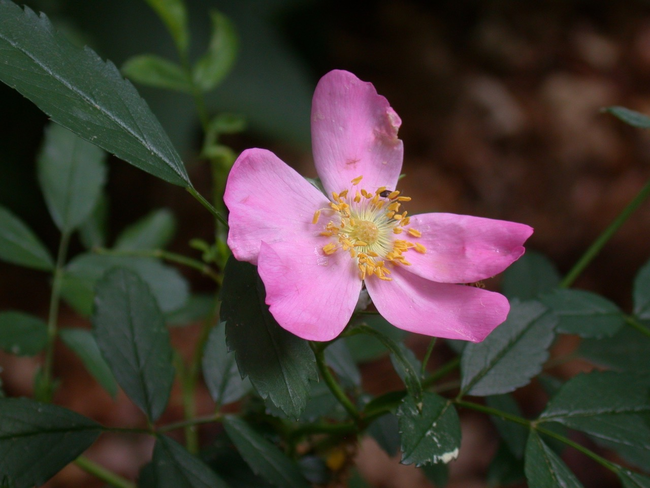 The Scientific Name is Rosa carolina. You will likely hear them called Carolina Rose. This picture shows the Flower of Rosa carolina