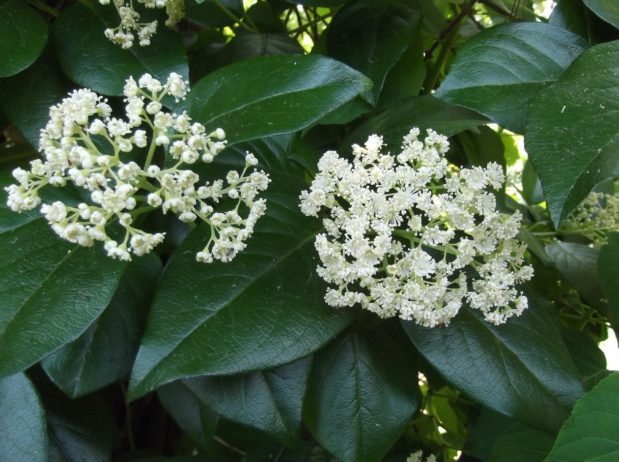 The Scientific Name is Hydrangea barbara [=Decumaria barbara ]. You will likely hear them called Climbing Hydrangea, Woodvamp, Decumary. This picture shows the Flowers are in small clusters (umbels) on the tips of branches with numerous white stamens of Hydrangea barbara [=Decumaria barbara ]