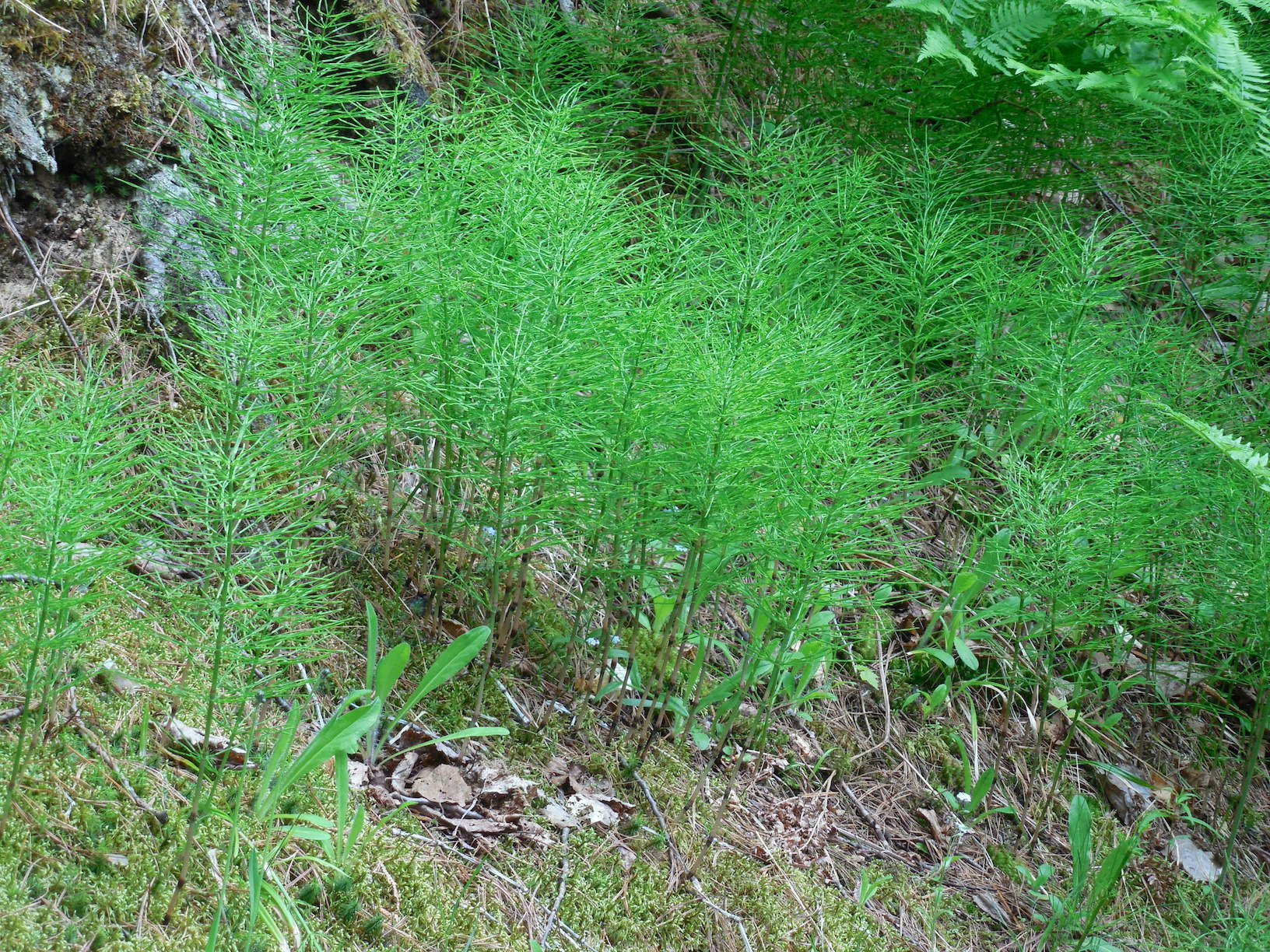 The Scientific Name is Equisetum arvense. You will likely hear them called Field Horsetail. This picture shows the Sterile shoots. of Equisetum arvense