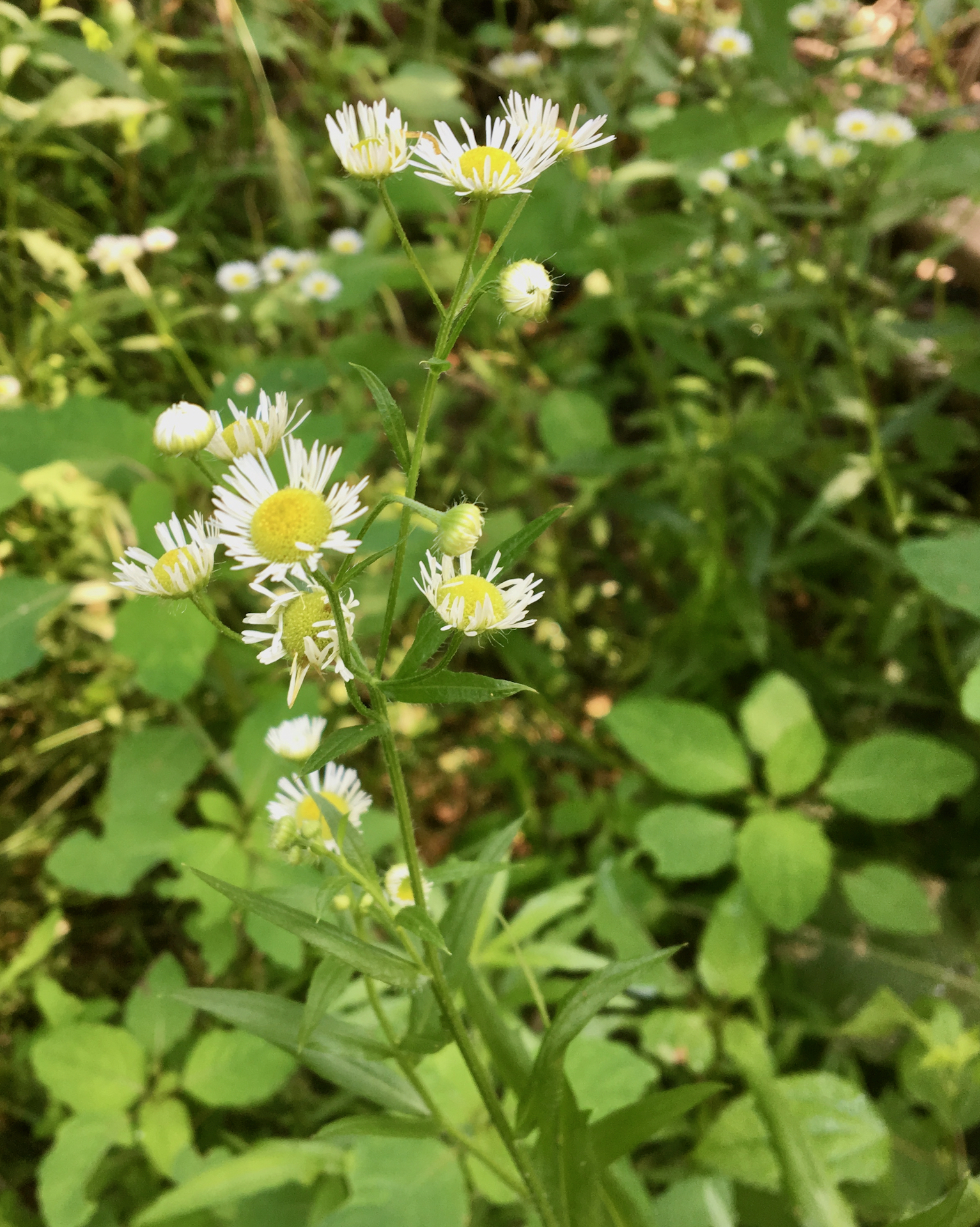 The Scientific Name is Erigeron strigosus var. strigosus. You will likely hear them called Common Rough Fleabane, Lesser Daisy Fleabane, Slender Daisy-fleabane. This picture shows the 1/2