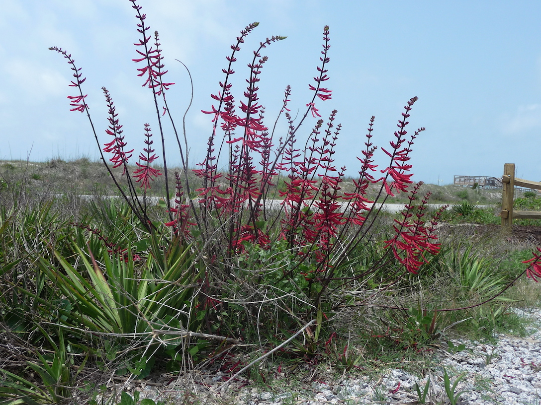 The Scientific Name is Erythrina herbacea. You will likely hear them called Coral Bean, Coralbean, Coral-bean, Redcardinal, Cardinal-spear. This picture shows the Growing in pure sand on a dune at ocean's edge. of Erythrina herbacea