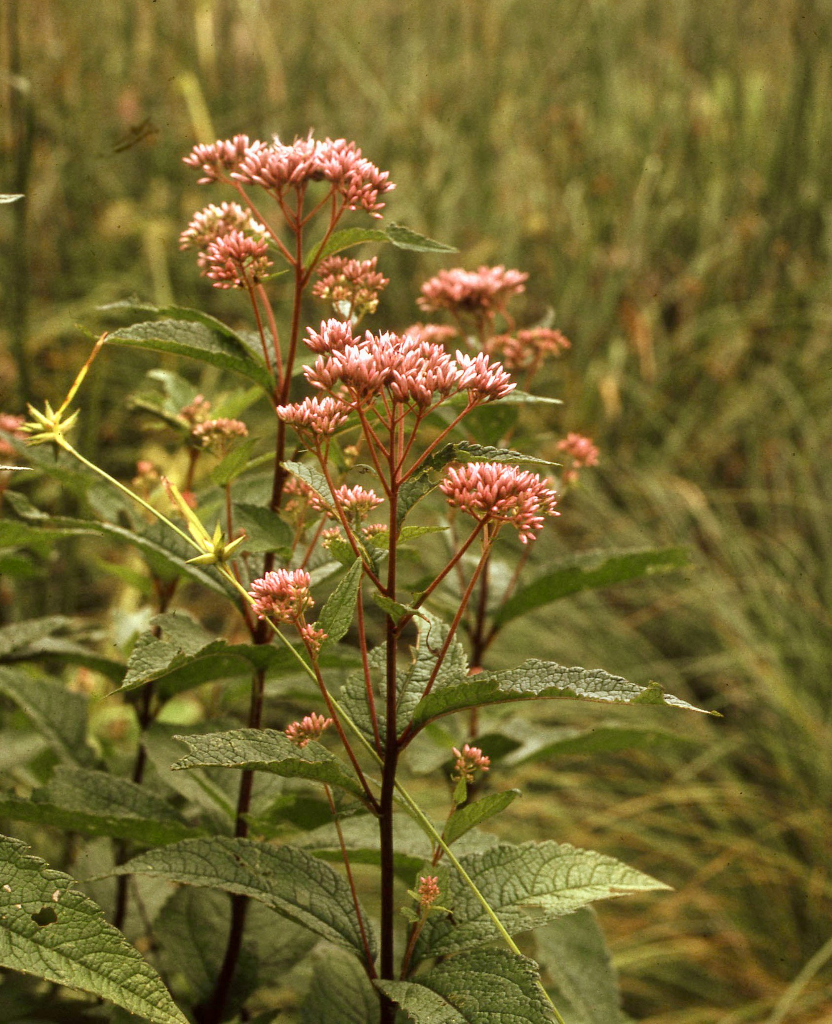 The Scientific Name is Eutrochium dubium [= Eupatorium dubium]. You will likely hear them called Three-nerved Joe-Pye-weed, Coastal Plain Joe-Pye-weed, Joe-Pye Thoroughwort. This picture shows the Pink flower clusters with leaves in whorls of 3 or 4 of Eutrochium dubium [= Eupatorium dubium]