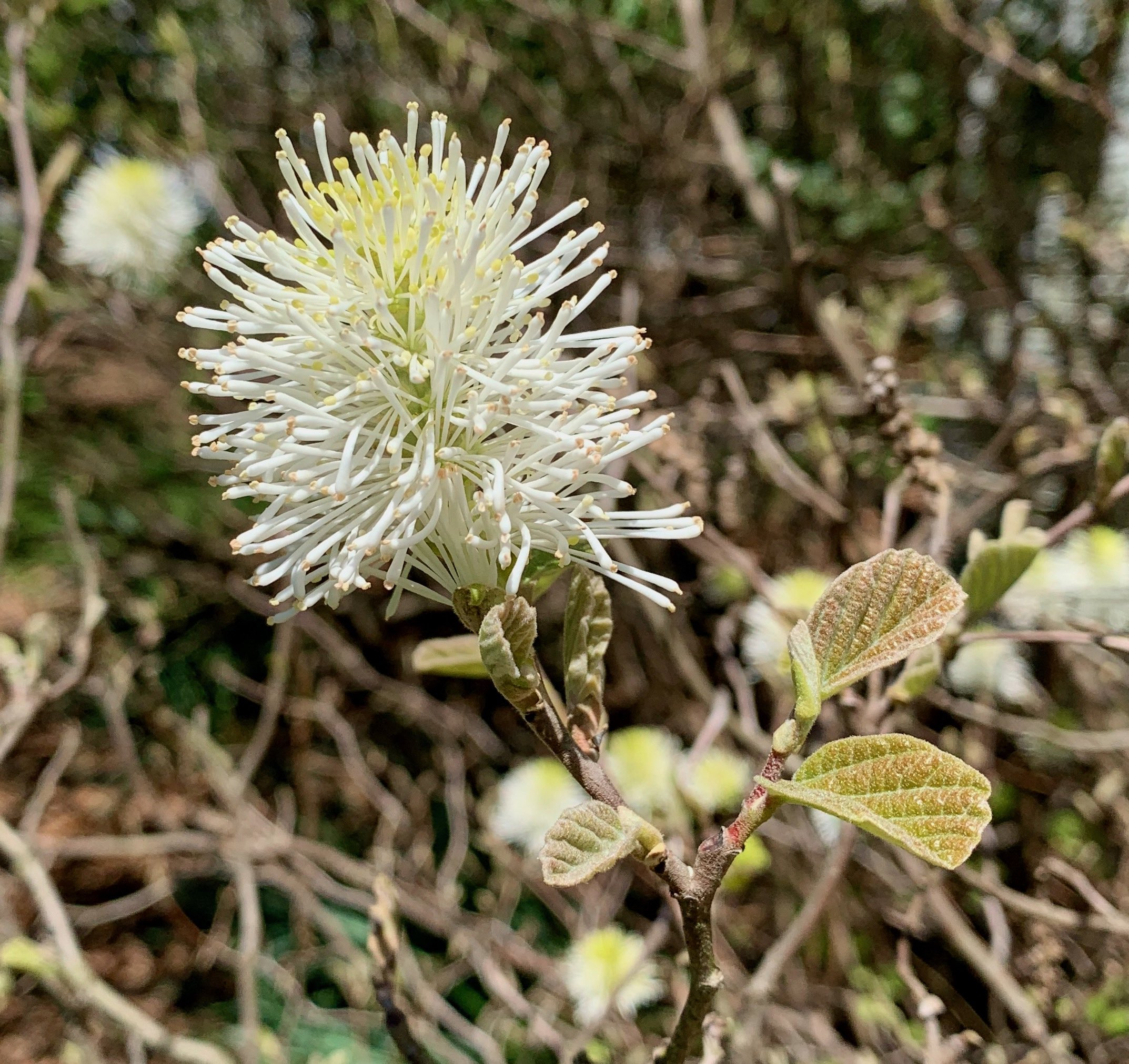 The Scientific Name is Fothergilla major. You will likely hear them called Large Witch-alder, Mountain Witch-alder, Tall Fothergilla. This picture shows the Brushlike flowers bloom at the tips of the twigs of Fothergilla major