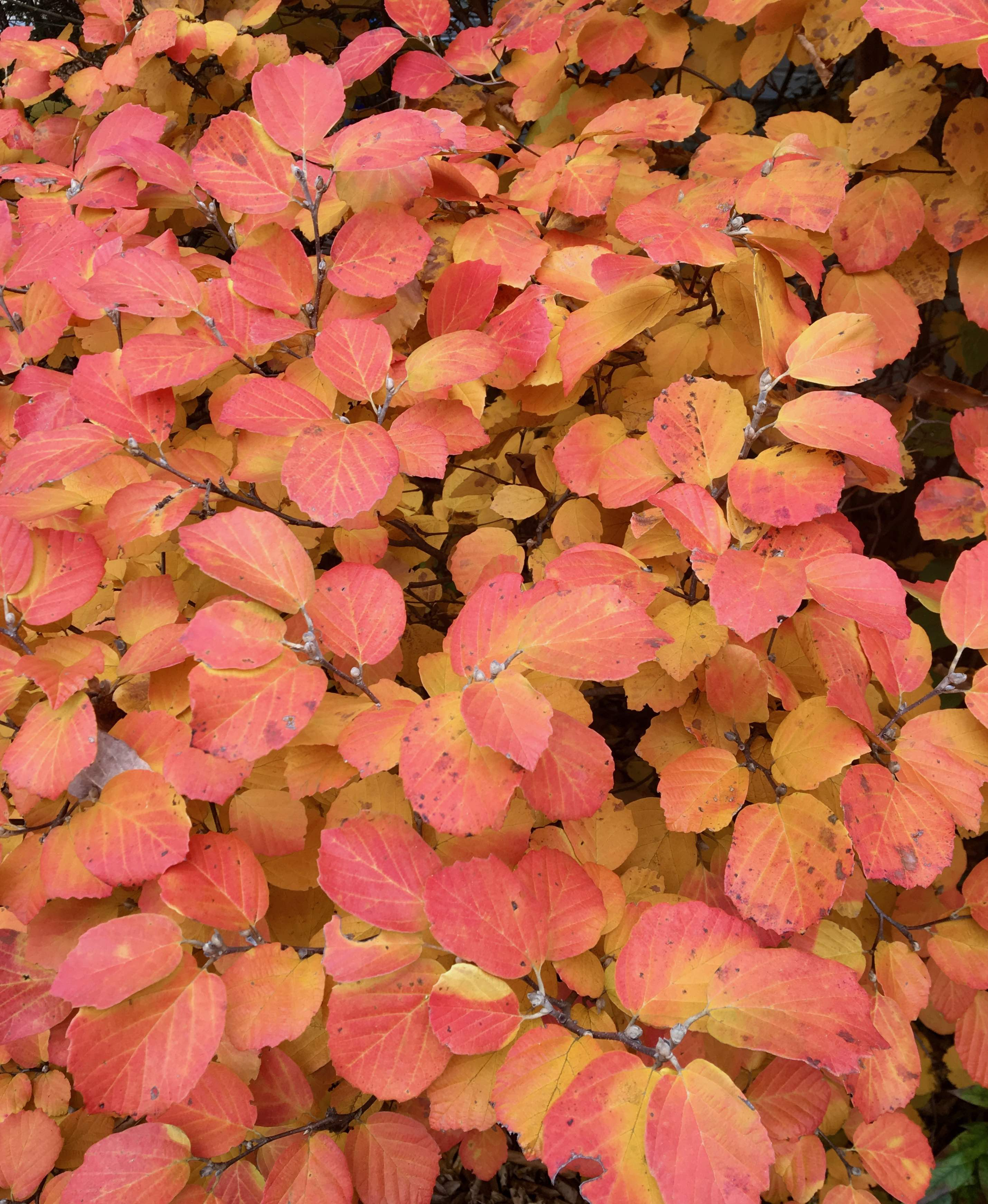 The Scientific Name is Fothergilla major. You will likely hear them called Large Witch-alder, Mountain Witch-alder, Tall Fothergilla. This picture shows the Fall foliage color ranges from yellow to deep orange to red of Fothergilla major