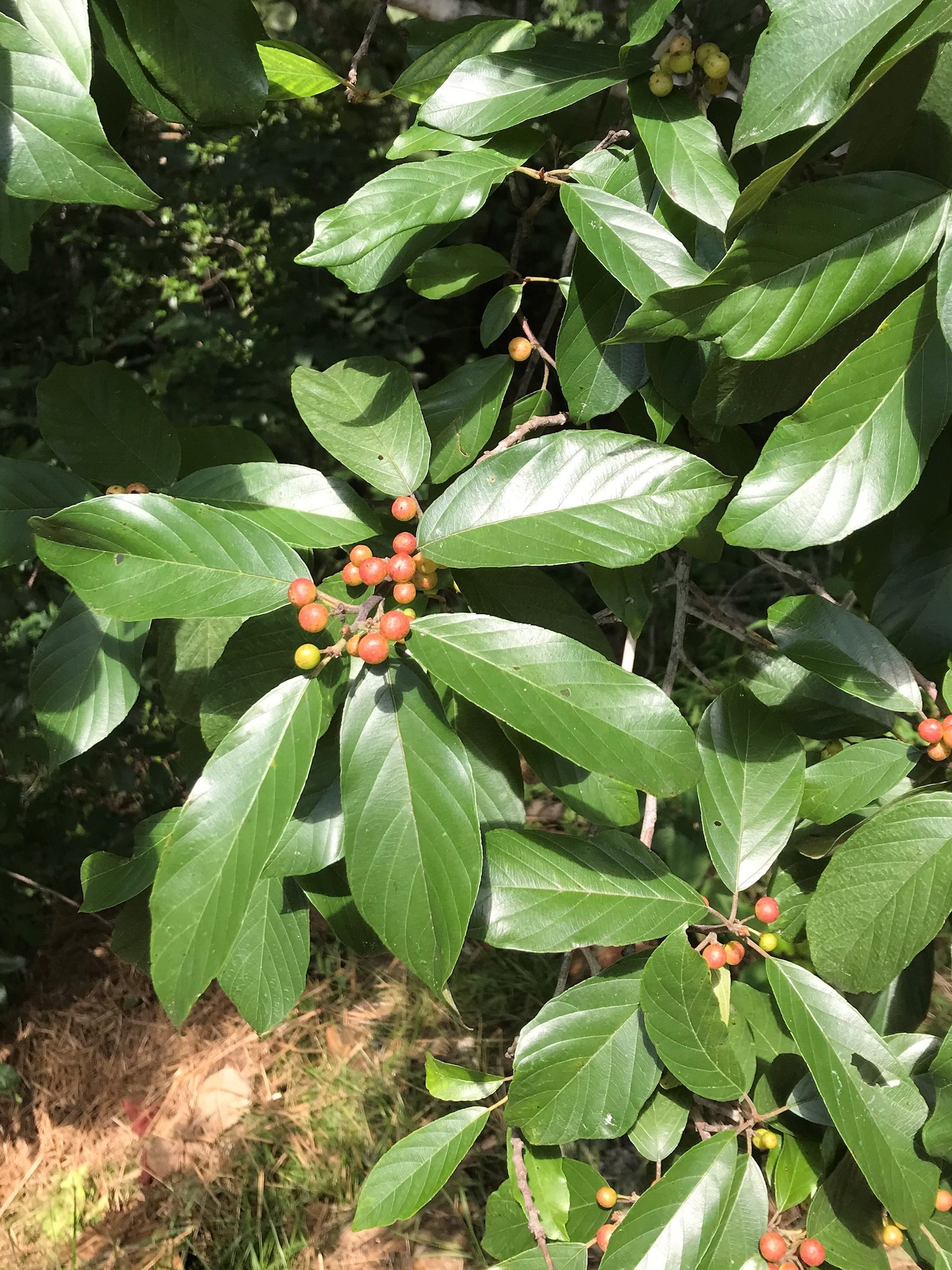 The Scientific Name is Frangula caroliniana [= Rhamnus caroliniana]. You will likely hear them called Carolina Buckthorn. This picture shows the Small tree with distinctive leaf venation and red drupes which eventually turn black. of Frangula caroliniana [= Rhamnus caroliniana]