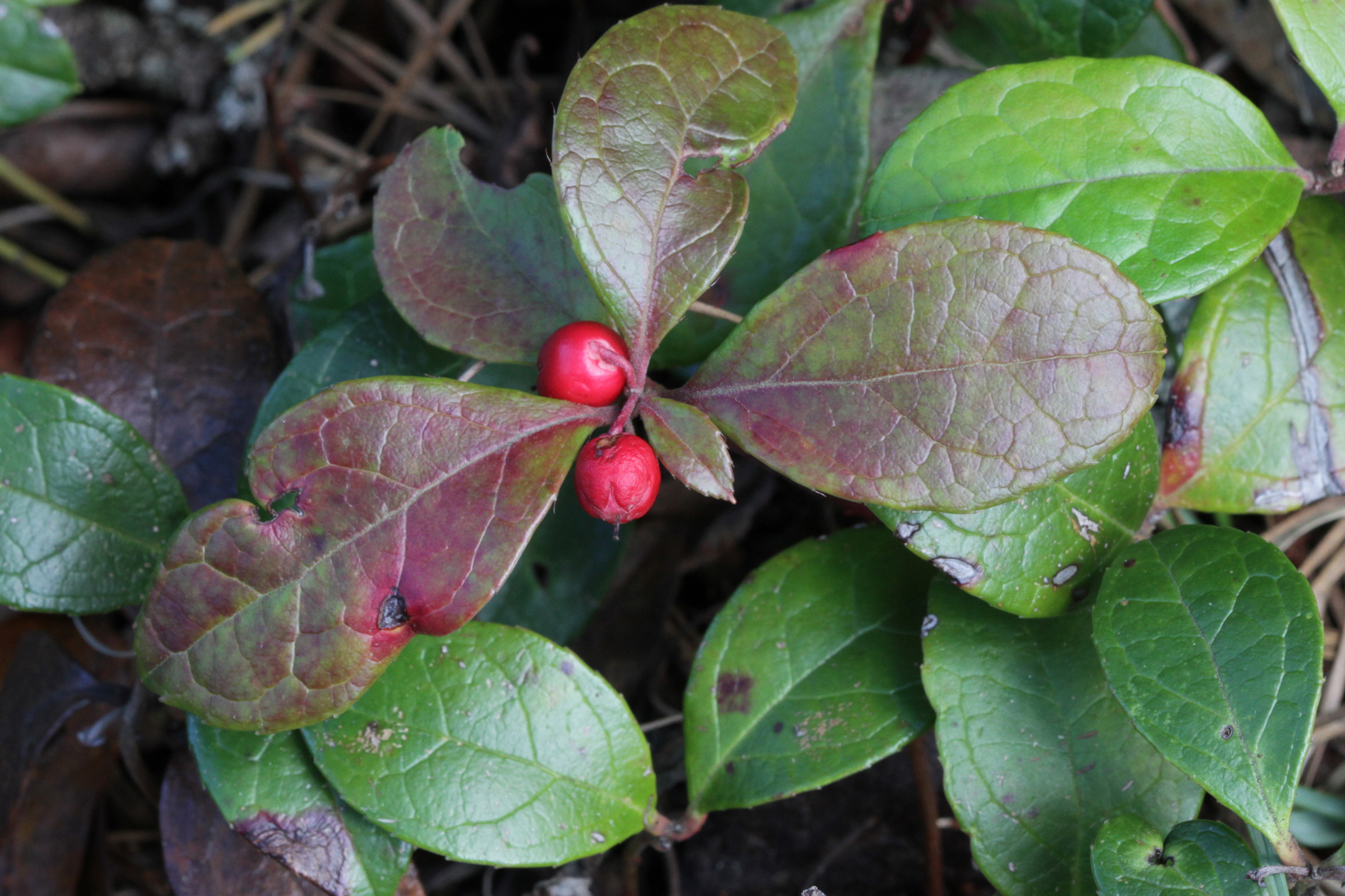 The Scientific Name is Gaultheria procumbens. You will likely hear them called Eastern Teaberry, Wintergreen, Checkerberry. This picture shows the Bright red fruits, call teaberries are edible with a distinctive wintergreen flavor. of Gaultheria procumbens