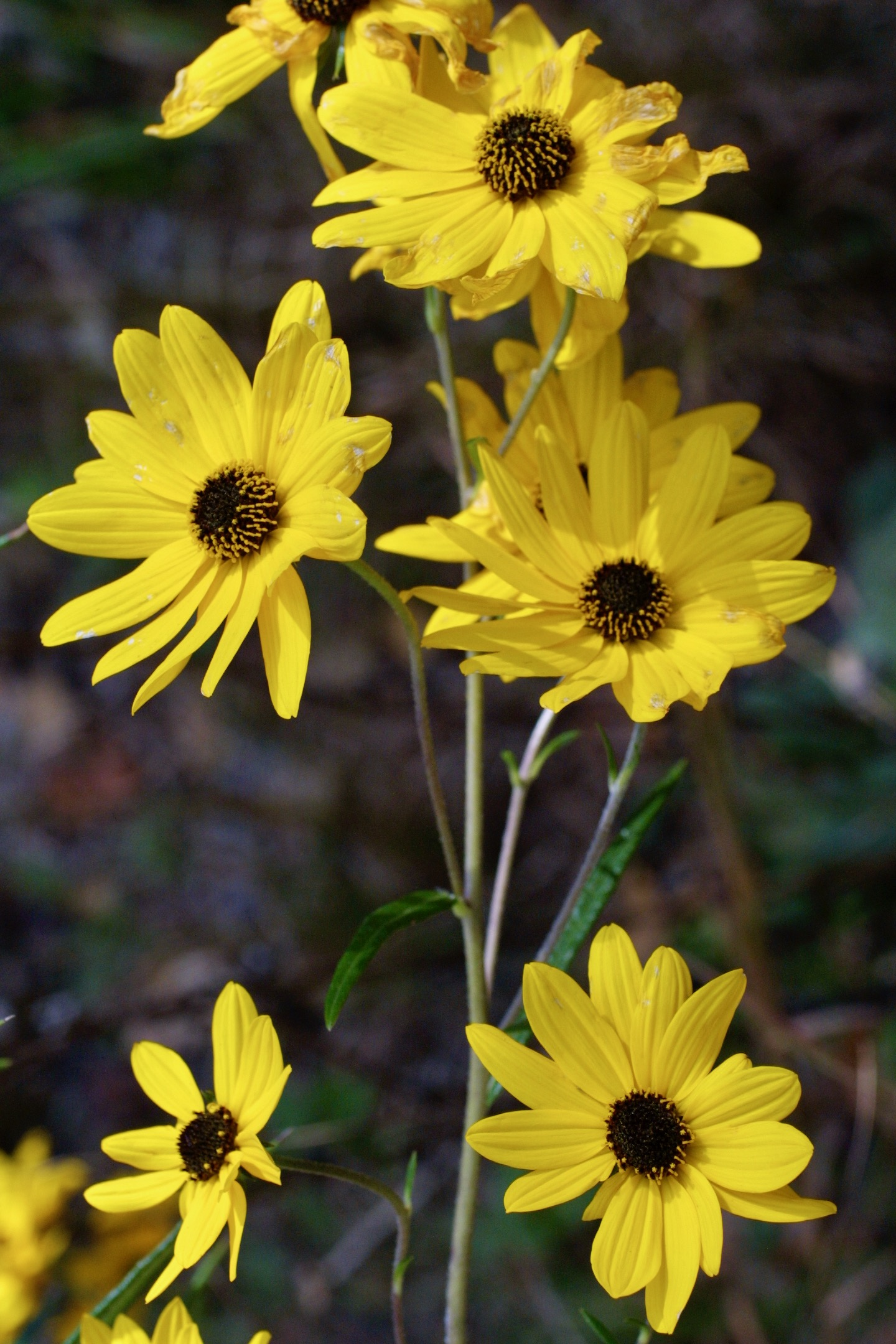 The Scientific Name is Helianthus angustifolius. You will likely hear them called Narrowleaf Sunflower, Swamp Sunflower. This picture shows the Narrow, sessile leaves with up to 21 ray florets and a deep red to purplish disk of Helianthus angustifolius