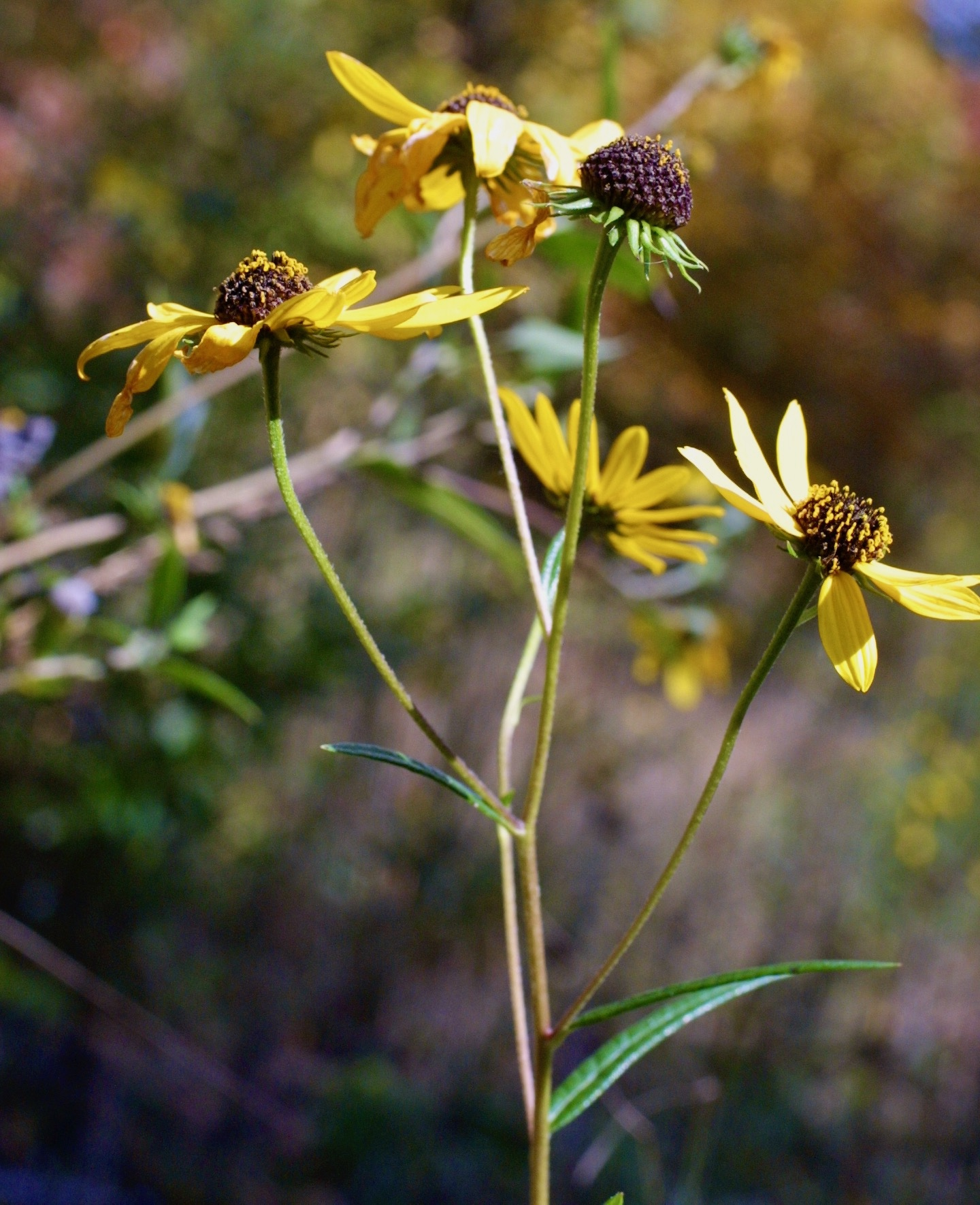 The Scientific Name is Helianthus angustifolius. You will likely hear them called Narrowleaf Sunflower, Swamp Sunflower. This picture shows the Narrow, sessile leaves and narrow, pointed, overlapping bracts of Helianthus angustifolius