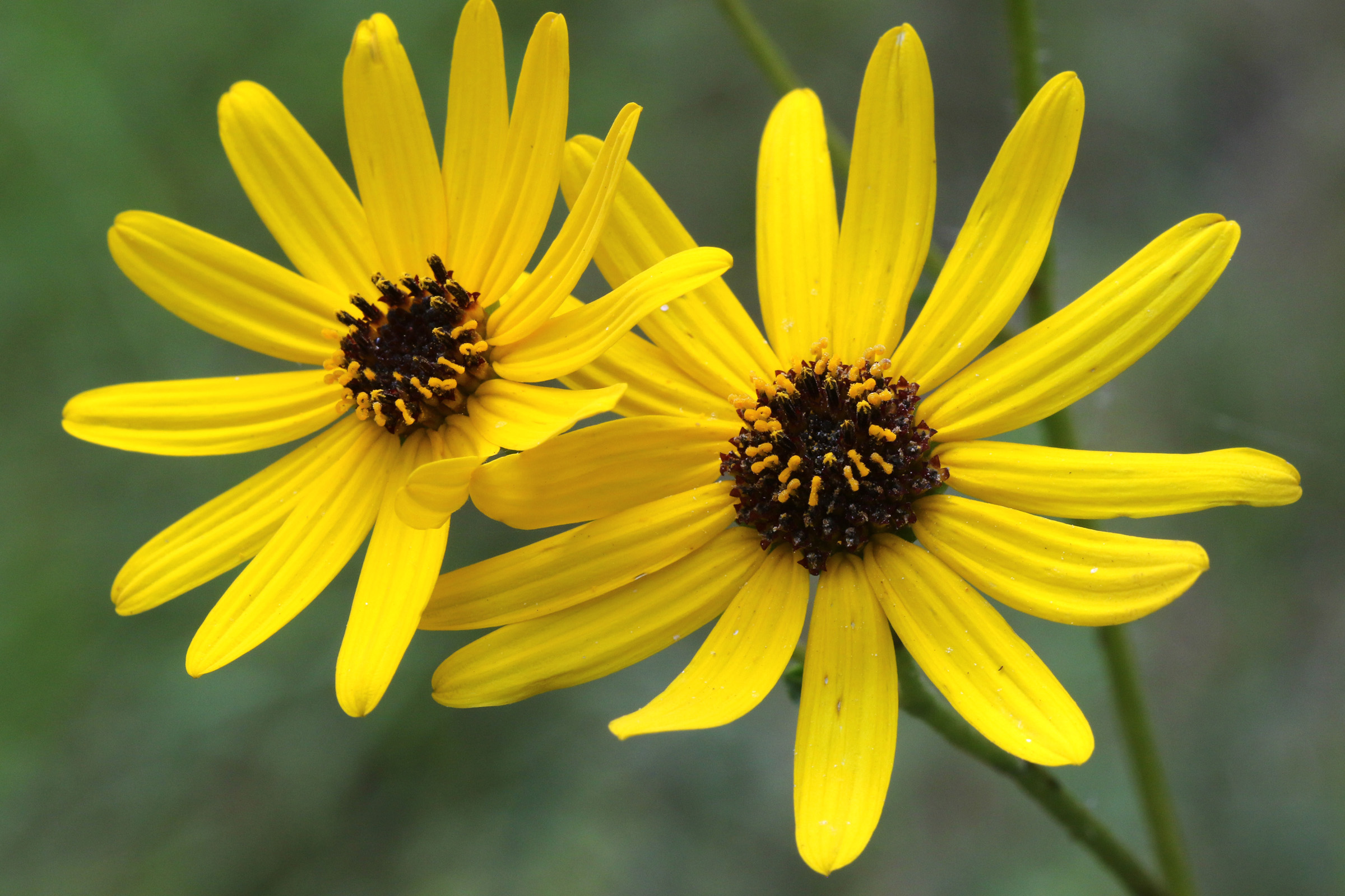 The Scientific Name is Helianthus atrorubens. You will likely hear them called Purpledisk Sunflower, Appalachian Sunflower. This picture shows the Flower heads to 3 inches wide with 10-15 ray florets surrounding purple-brown disc florets with protruding bright yellow pistils. of Helianthus atrorubens