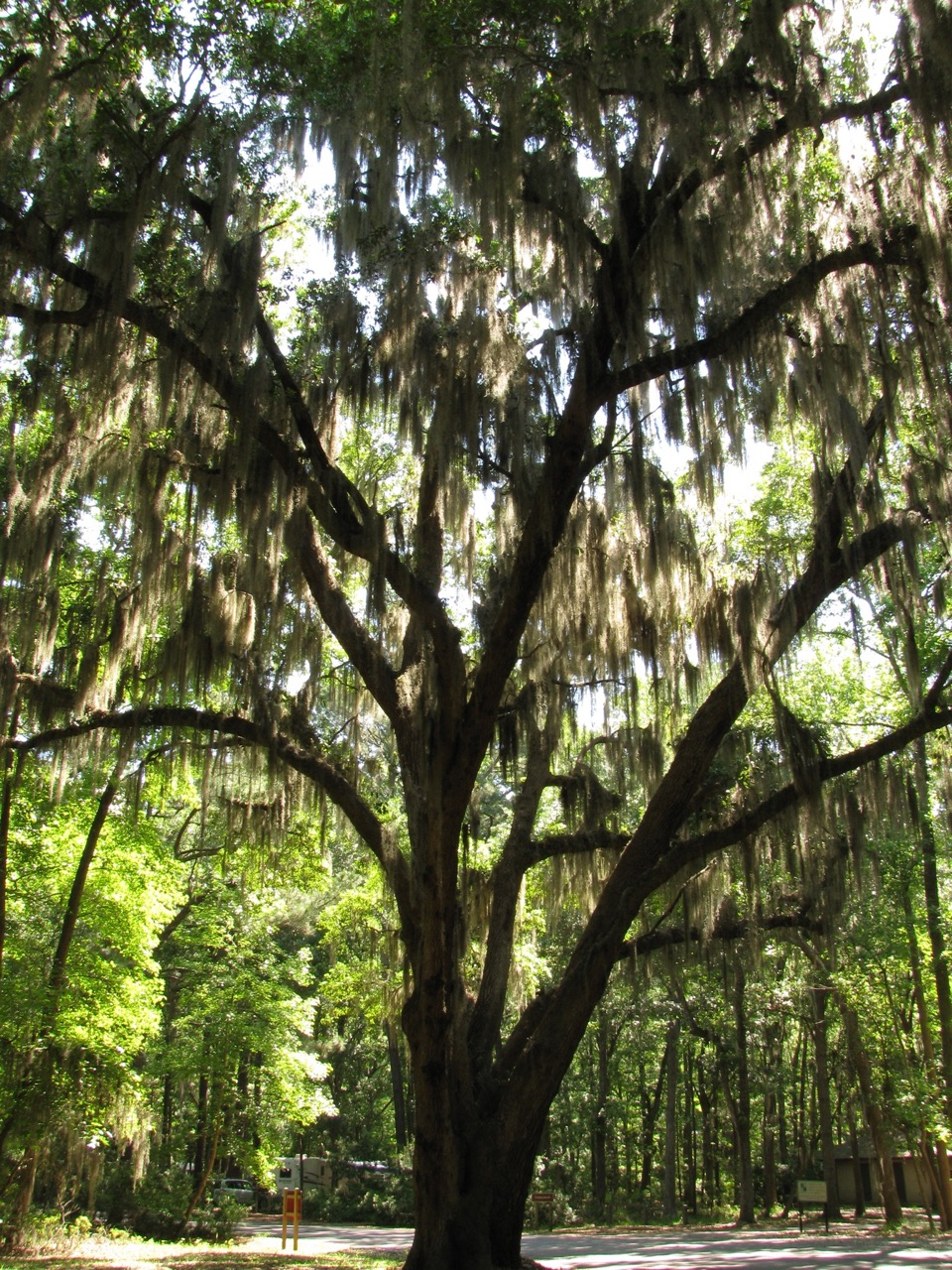 The Scientific Name is Quercus virginiana. You will likely hear them called Live Oak. This picture shows the Wide spreading limbs draped in Spanish Moss of Quercus virginiana