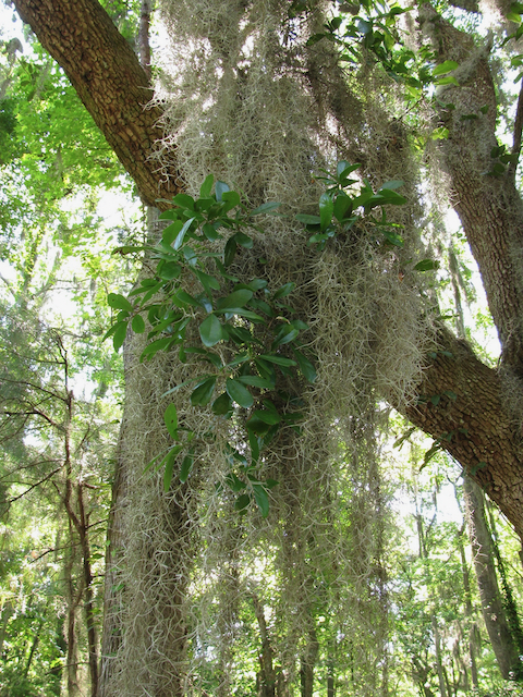 The Scientific Name is Tillandsia usneoides [=Dendropogon usneoides]. You will likely hear them called Spanish-moss, Long-moss. This picture shows the Growing on a Live Oak tree (Quercus virginiana) of Tillandsia usneoides [=Dendropogon usneoides]