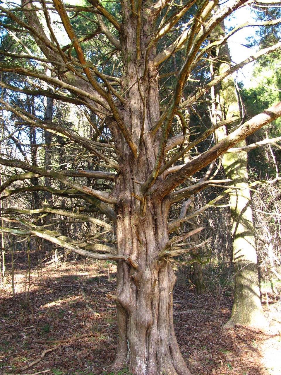 The Scientific Name is Juniperus virginiana. You will likely hear them called Eastern Red Cedar. This picture shows the Mature tree showing trunk with fluted base and bark that exfoliates in thin strips of Juniperus virginiana